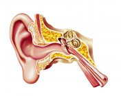 Cutaway diagram of human ear isolated on white background — Stock Photo