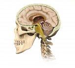 Vista de corte del cráneo humano mostrando detalles cerebrales aislados sobre fondo blanco - foto de stock