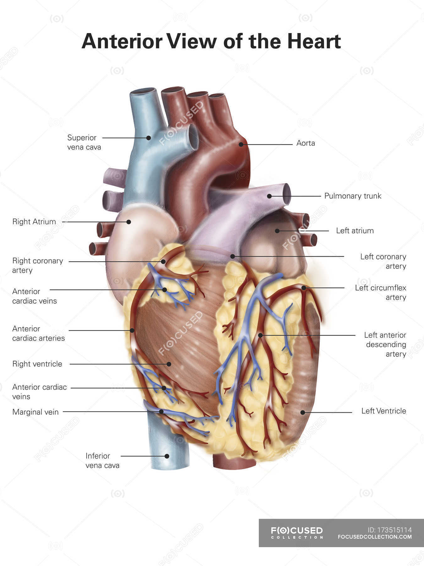 Human Heart With Labels Stock Photo 173515114