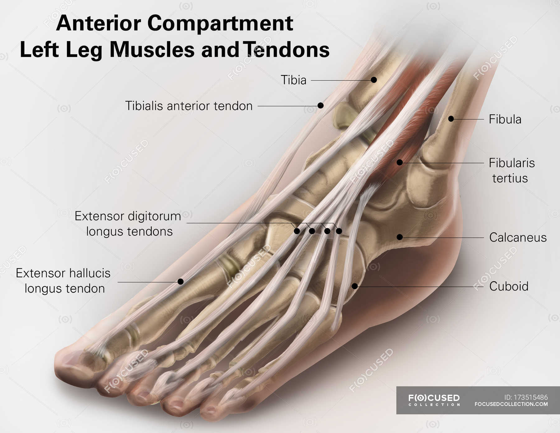 Leg Muscles And Tendons White Background Part Of Stock Photo