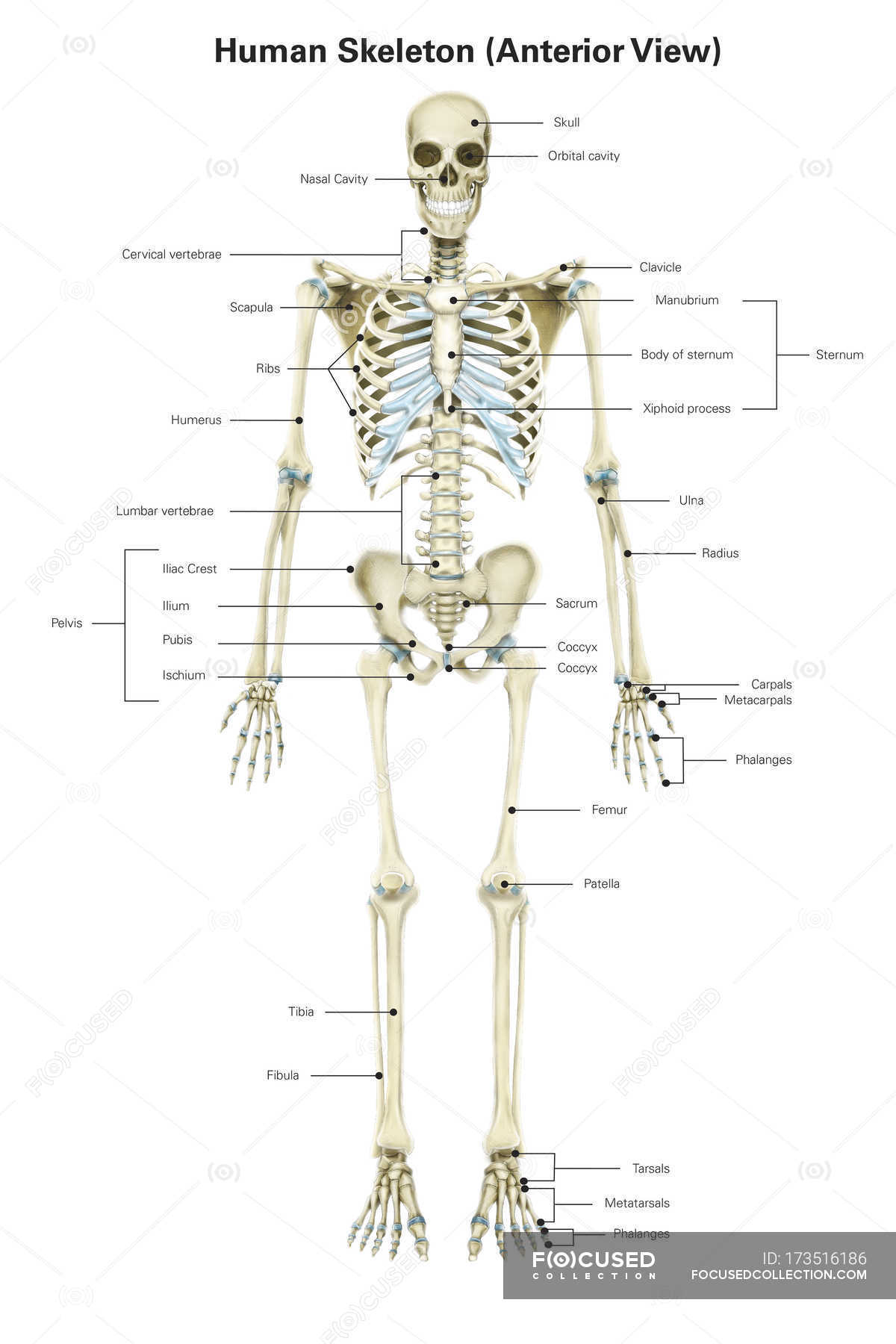 Human Skeletal System With Labels  U2014 Vertical  View