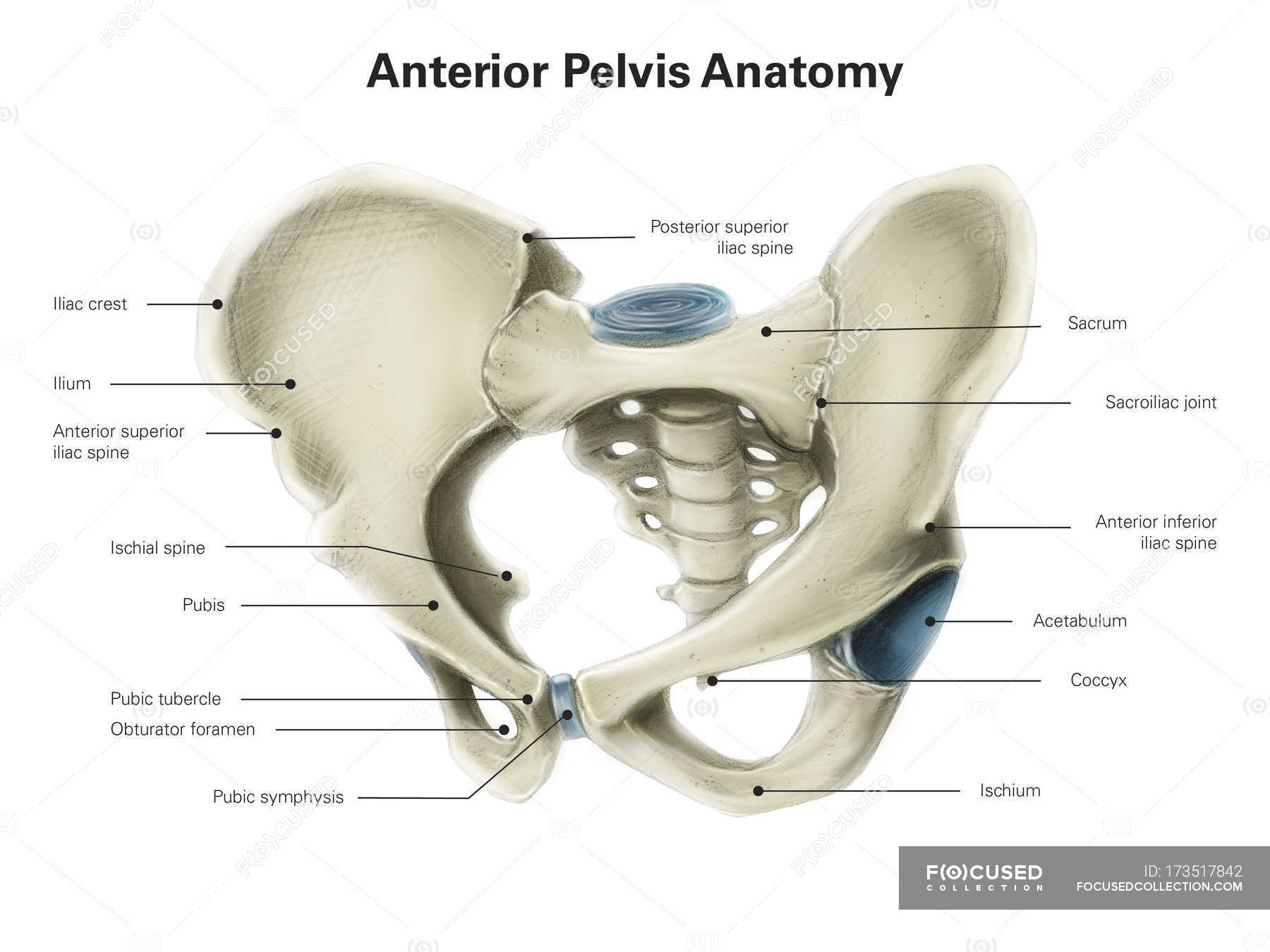 Anterior View Of Human Pelvis Stock Photo 173517842