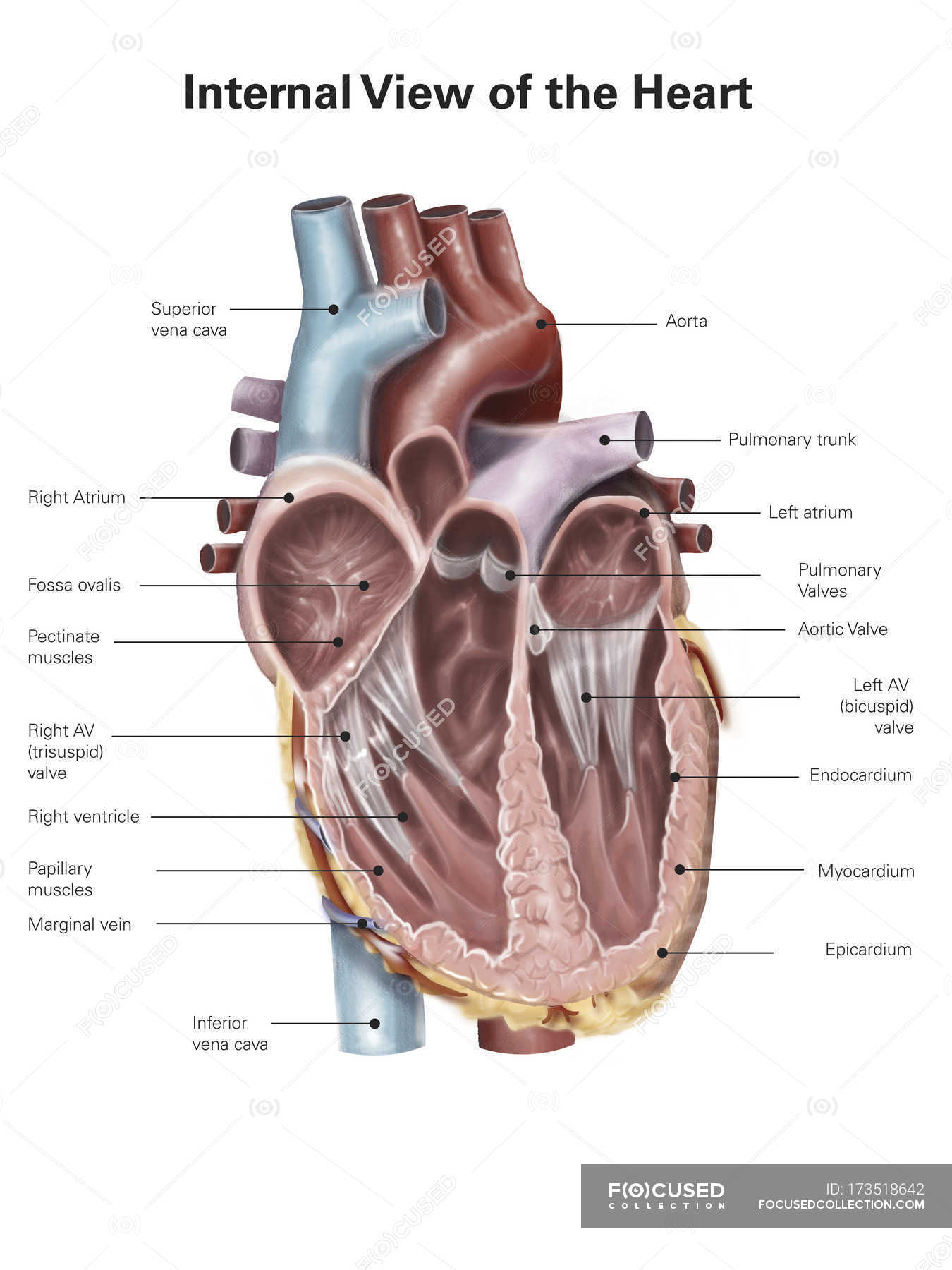 Human Heart With Labels Stock Photo 173518642