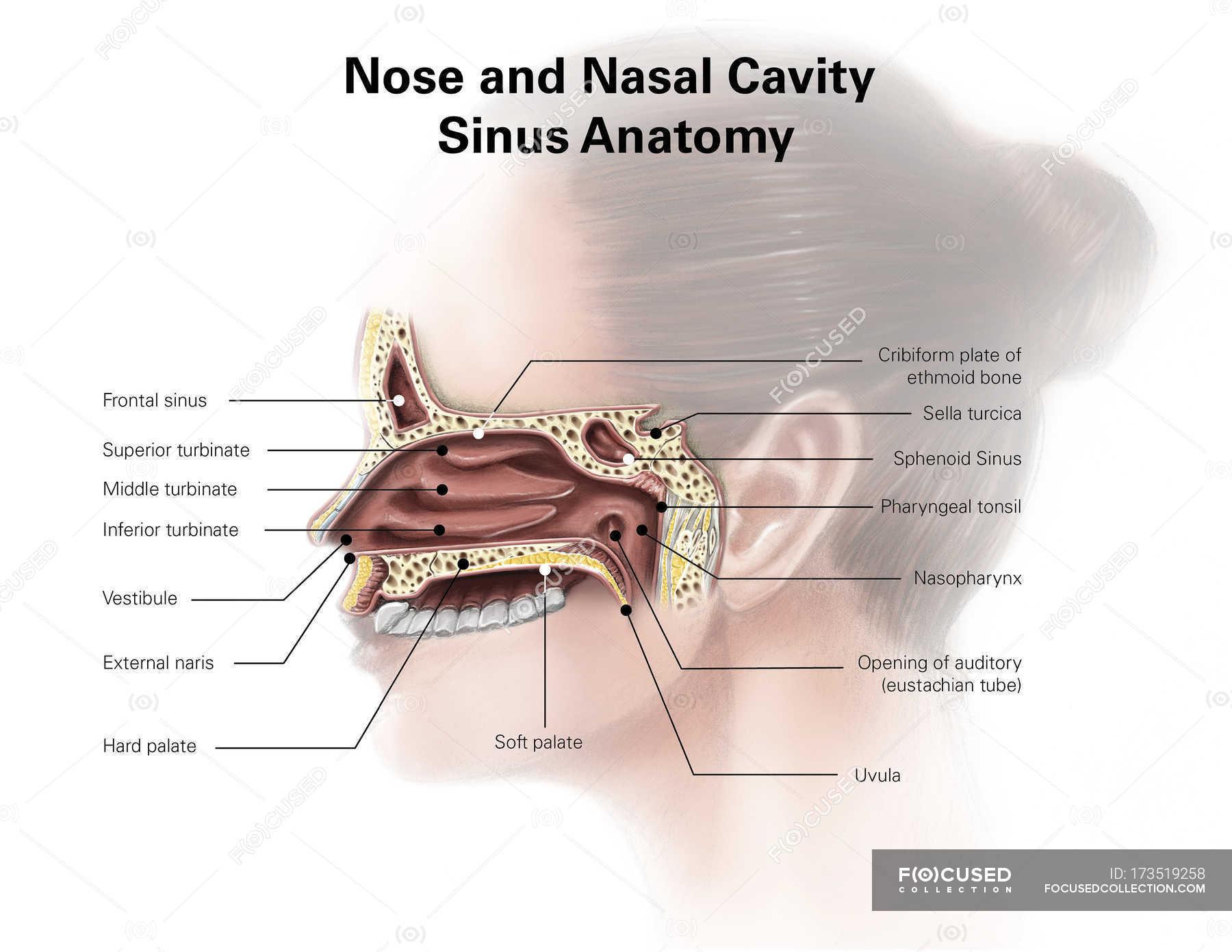 Nase und Nebenhöhlen Anatomie der Nasenhöhle — Stockfoto | #173519258