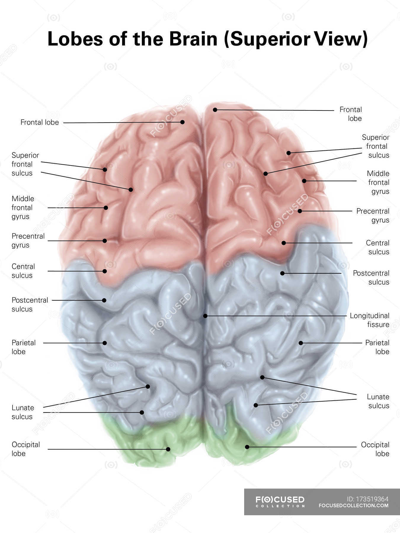 Human brain with colored lobes stock photo 173519364 ccuart Image collections