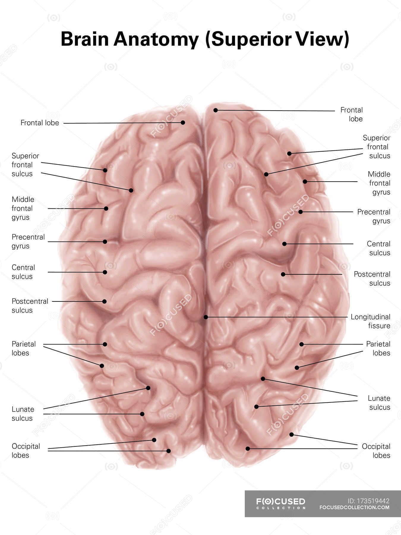 Human Brain Anatomy White Background Directly Above Stock Photo