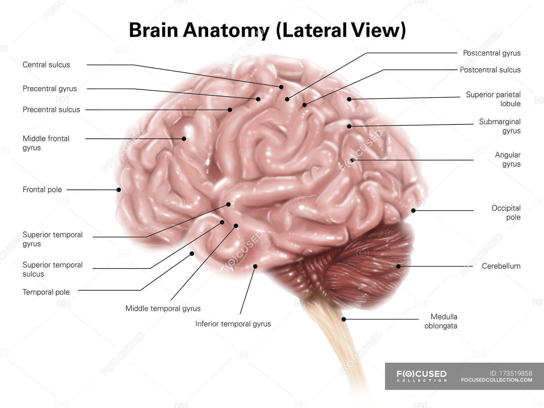 Human brain anatomy — Stock Photo | #173519858