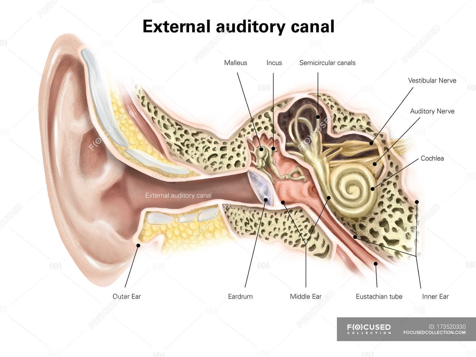 Auditory Canal Of Human Ear Stock Photo 173520330