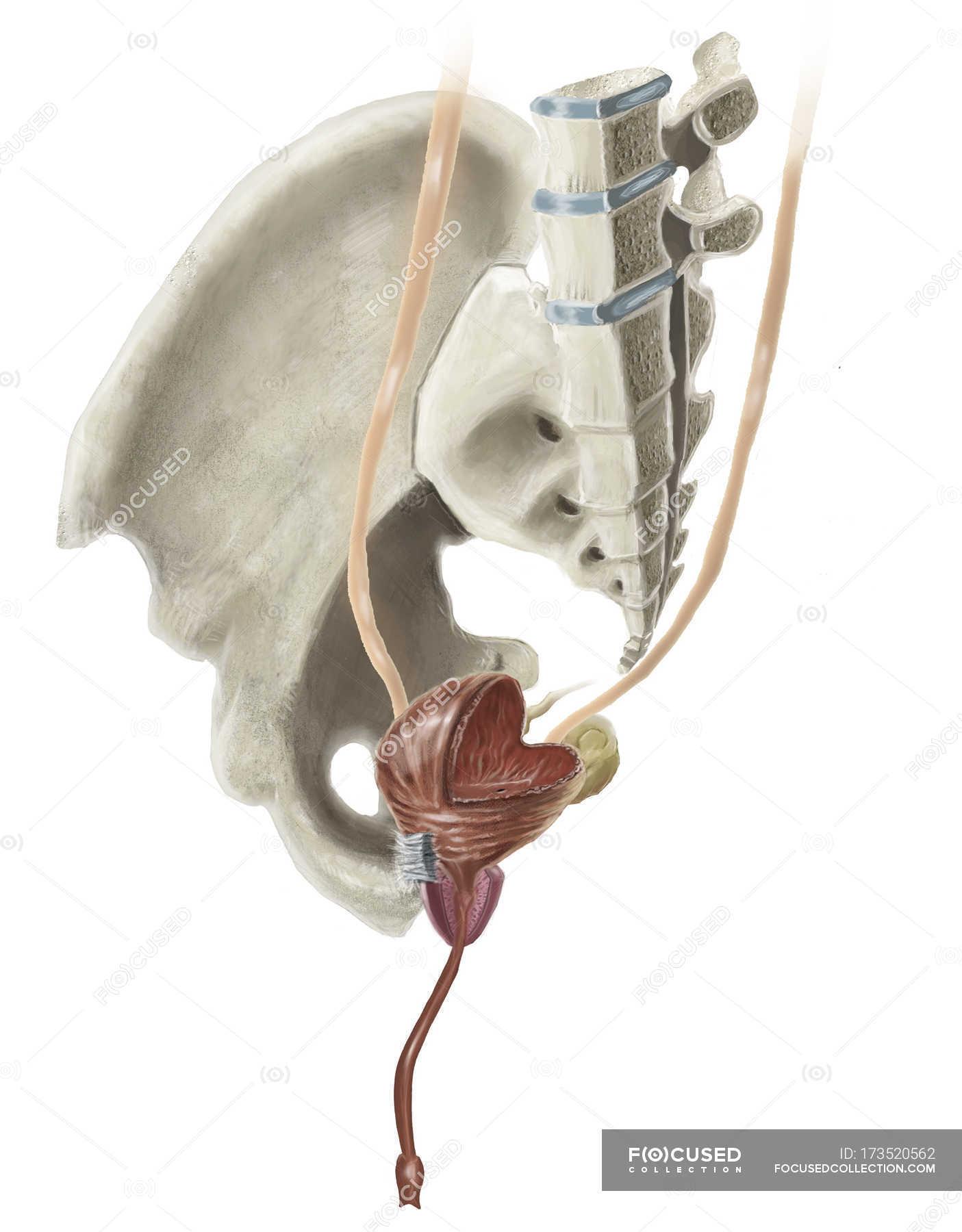 Anatomie der menschlichen Becken und männlichen Harnblase ...