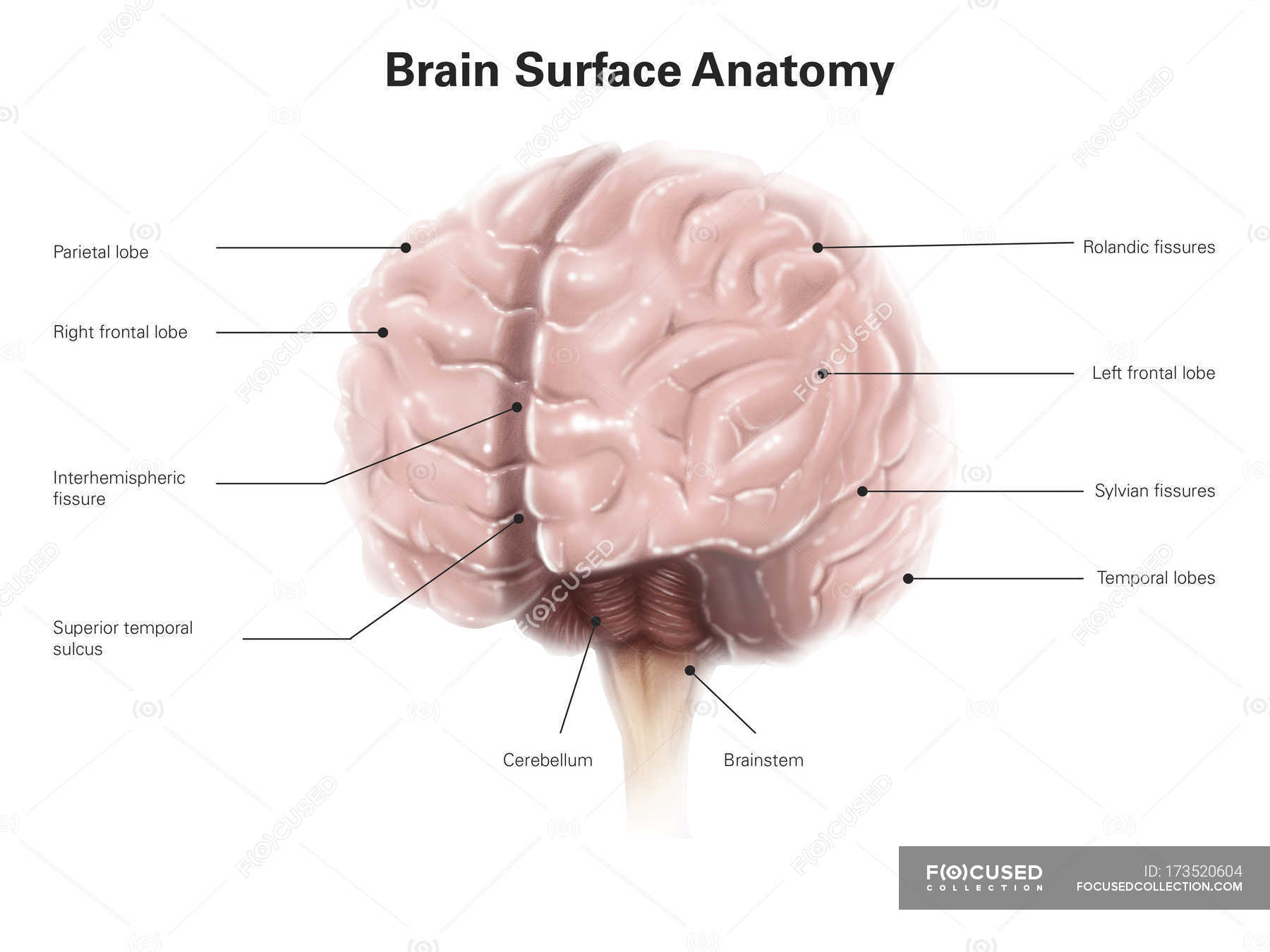 Brain surface anatomy — Stock Photo | #173520604