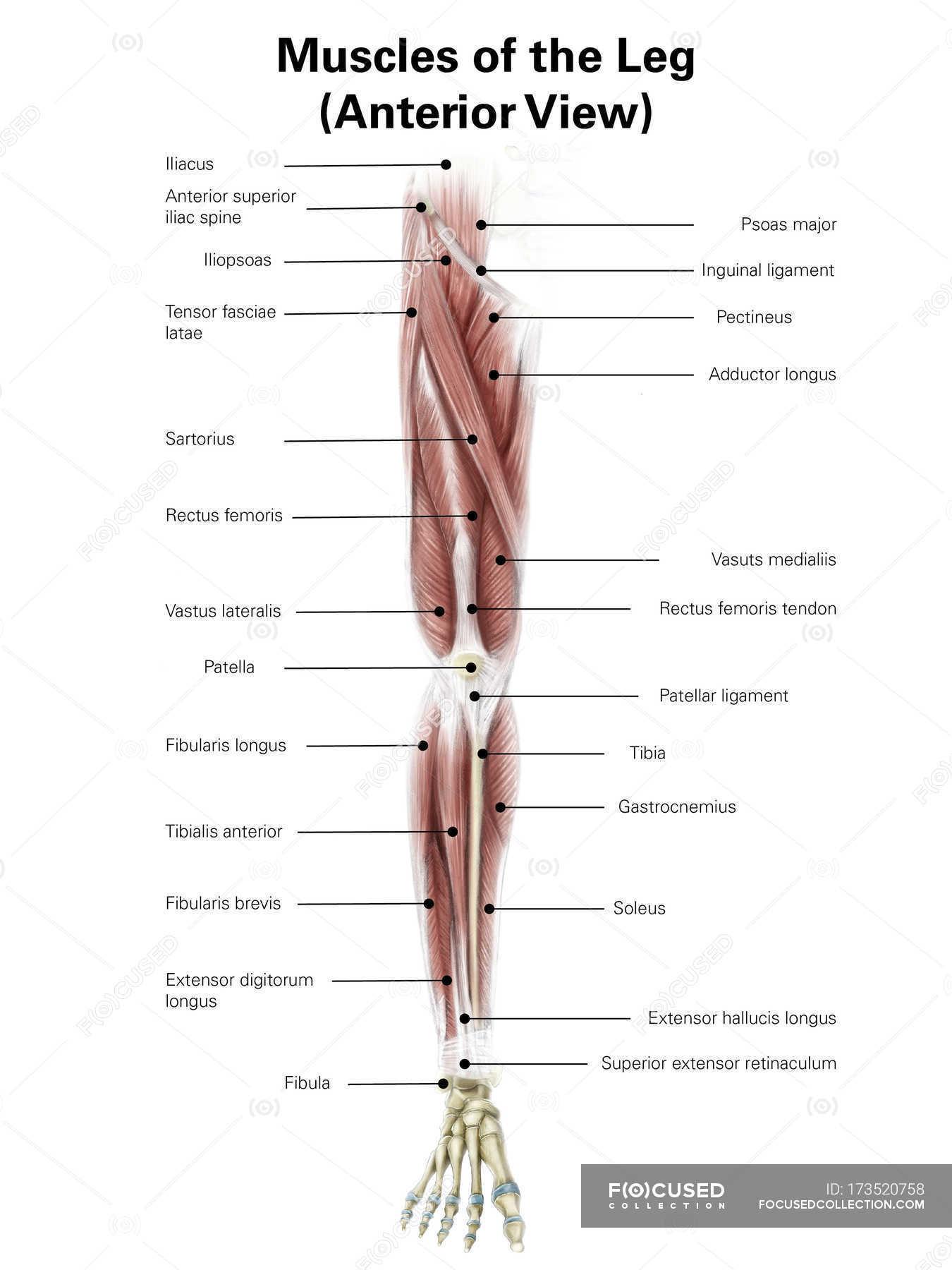 Illustration der vorderen Muskeln des Beines — Stockfoto | #173520758
