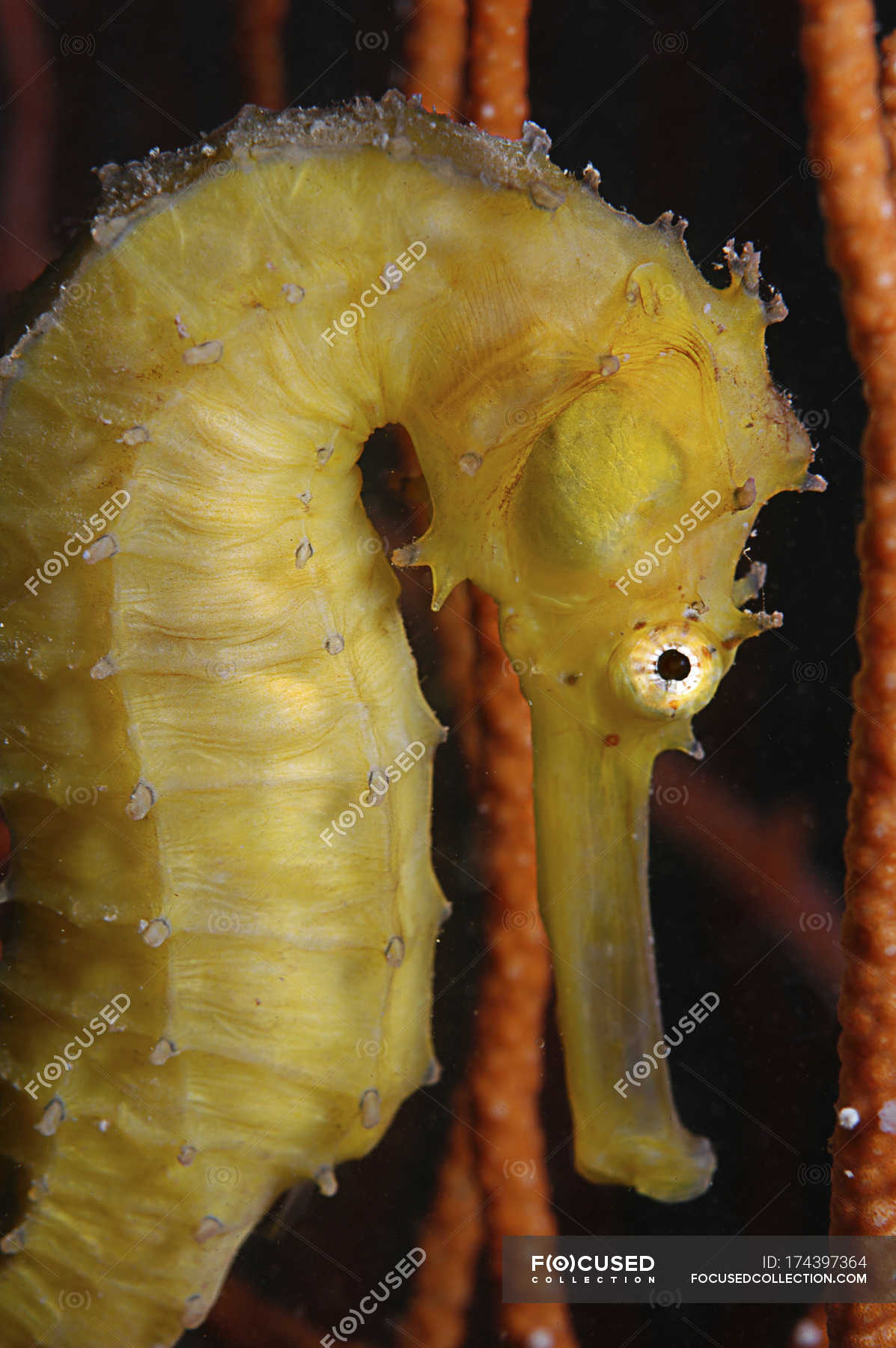 Yellow Seahorse Closeup Shot Wildlife Water Stock Photo 174397364