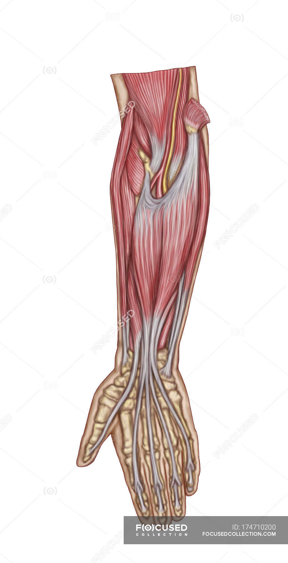 Medical illustration of forearm muscles anatomy — Stock Photo ...