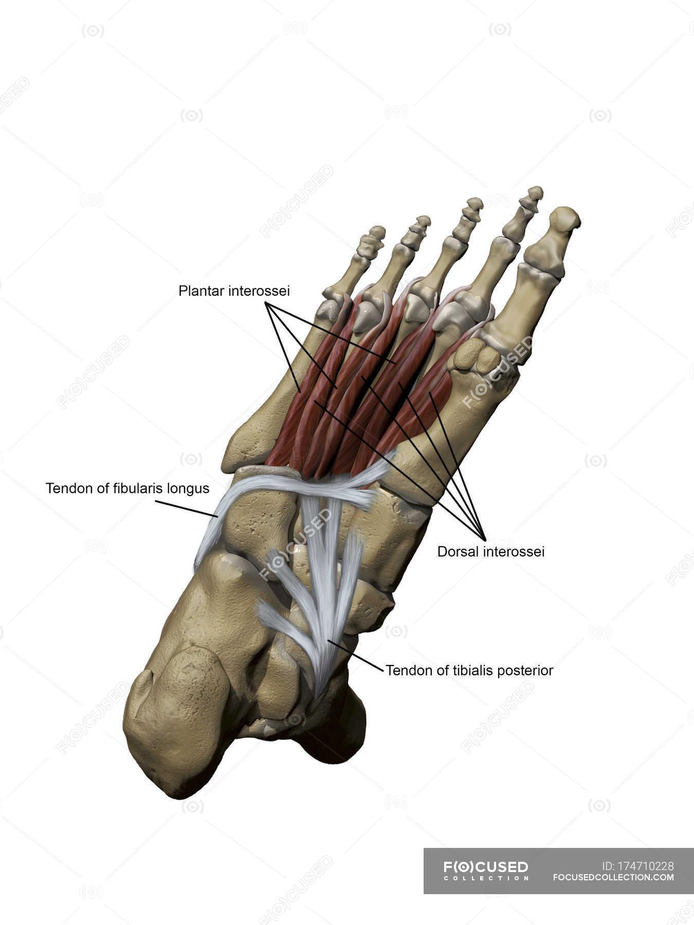 Modell des Fußes Darstellung der plantar Muskeln und ...