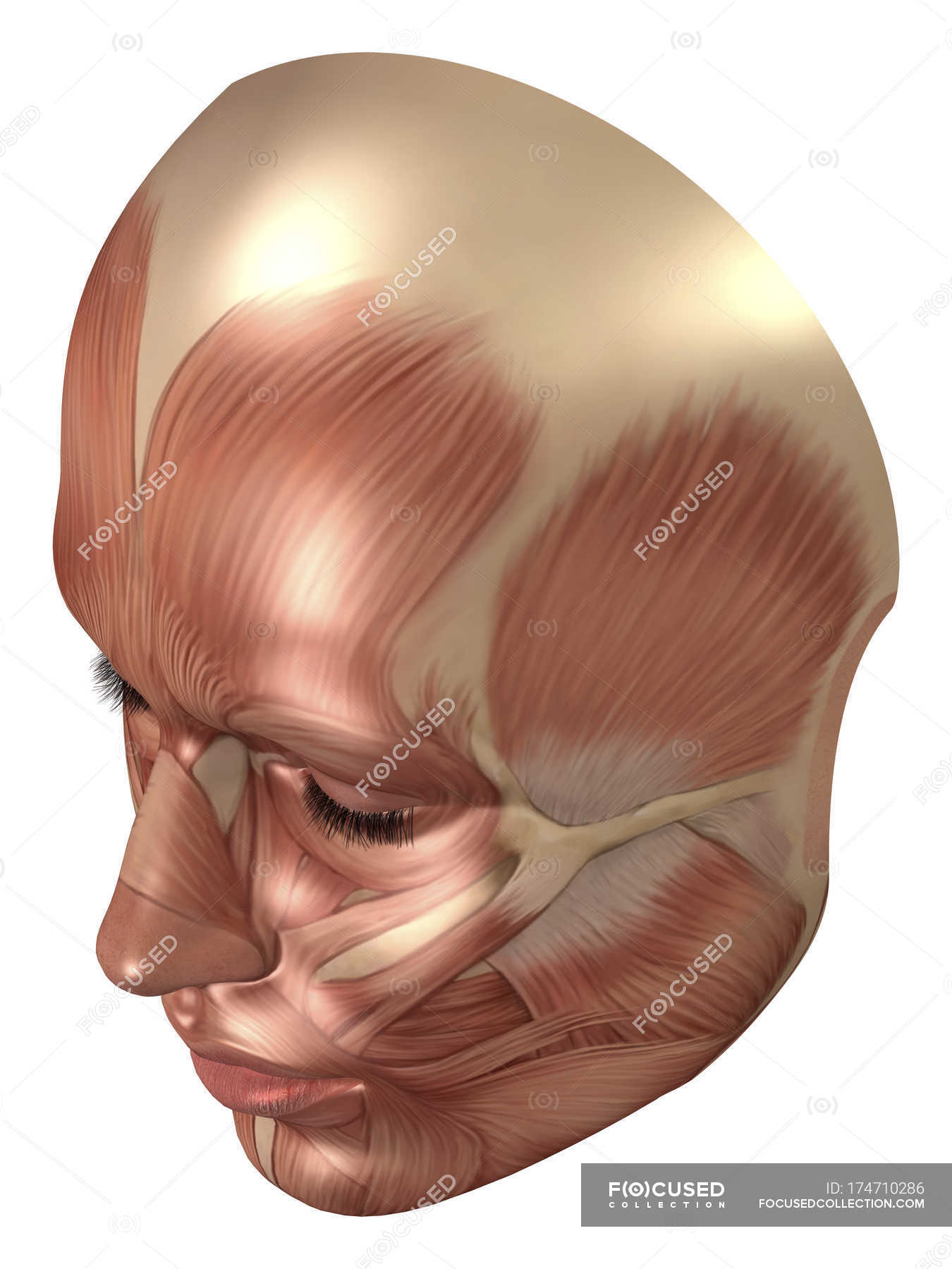 Anatomy Of Human Face Muscles Stock Photo 174710286