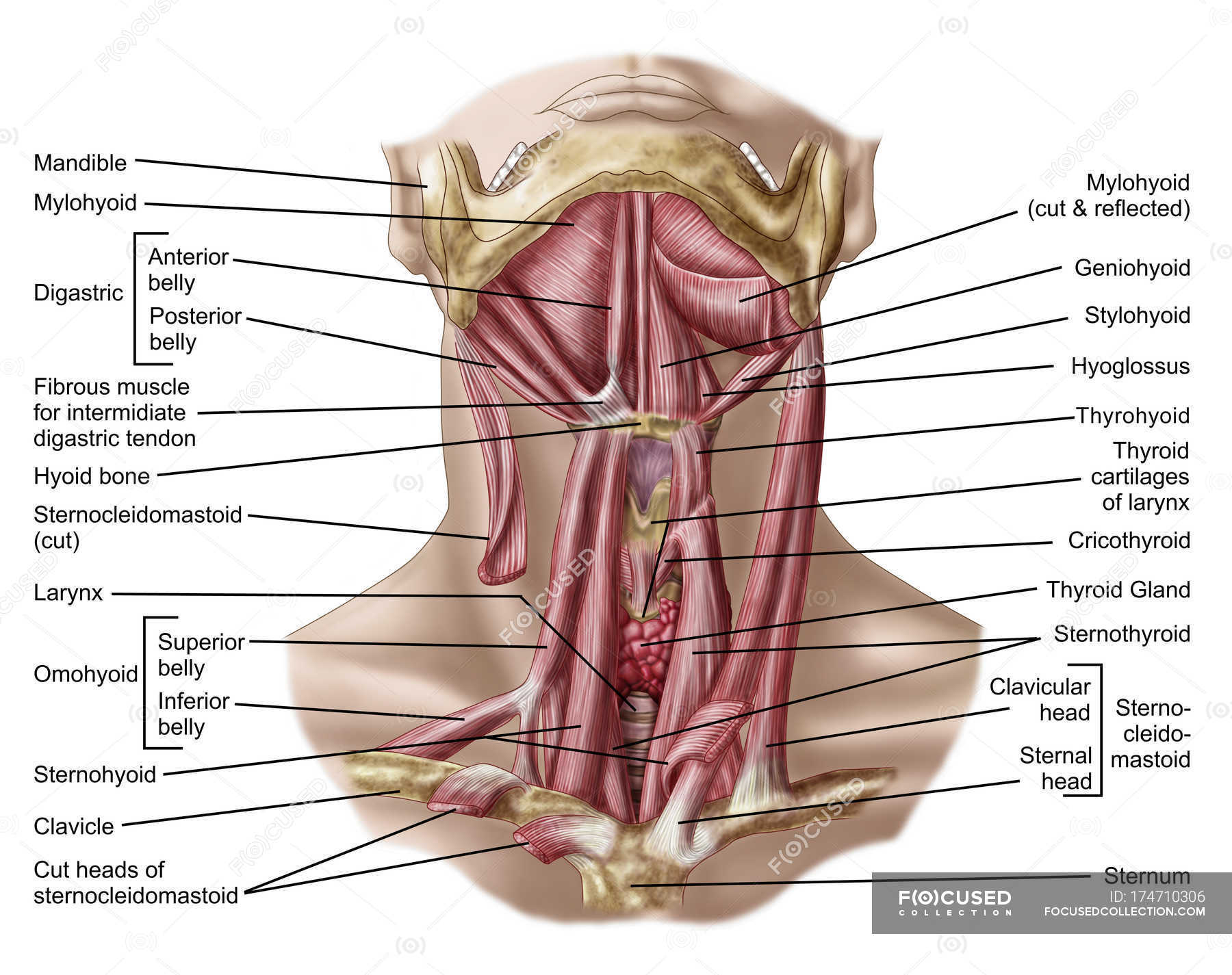 Anatomy of human hyoid bone and muscles — Stock Photo | #174710306
