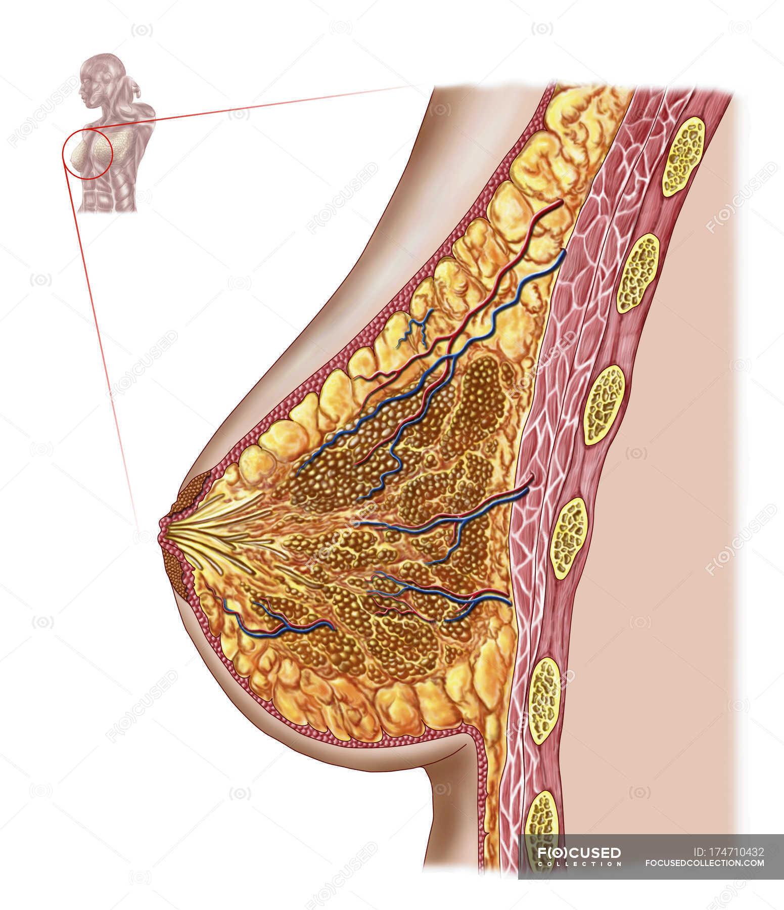 Medical illustration of the female breast anatomy — Stock Photo ...