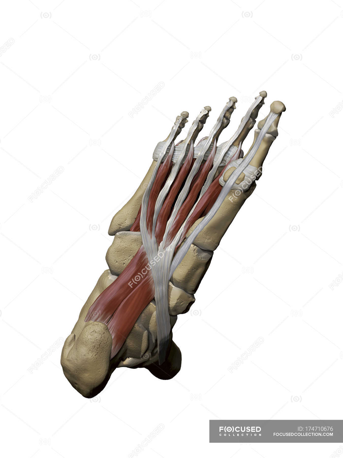 Foot with plantar intermediate muscles and bone structures — Stock ...