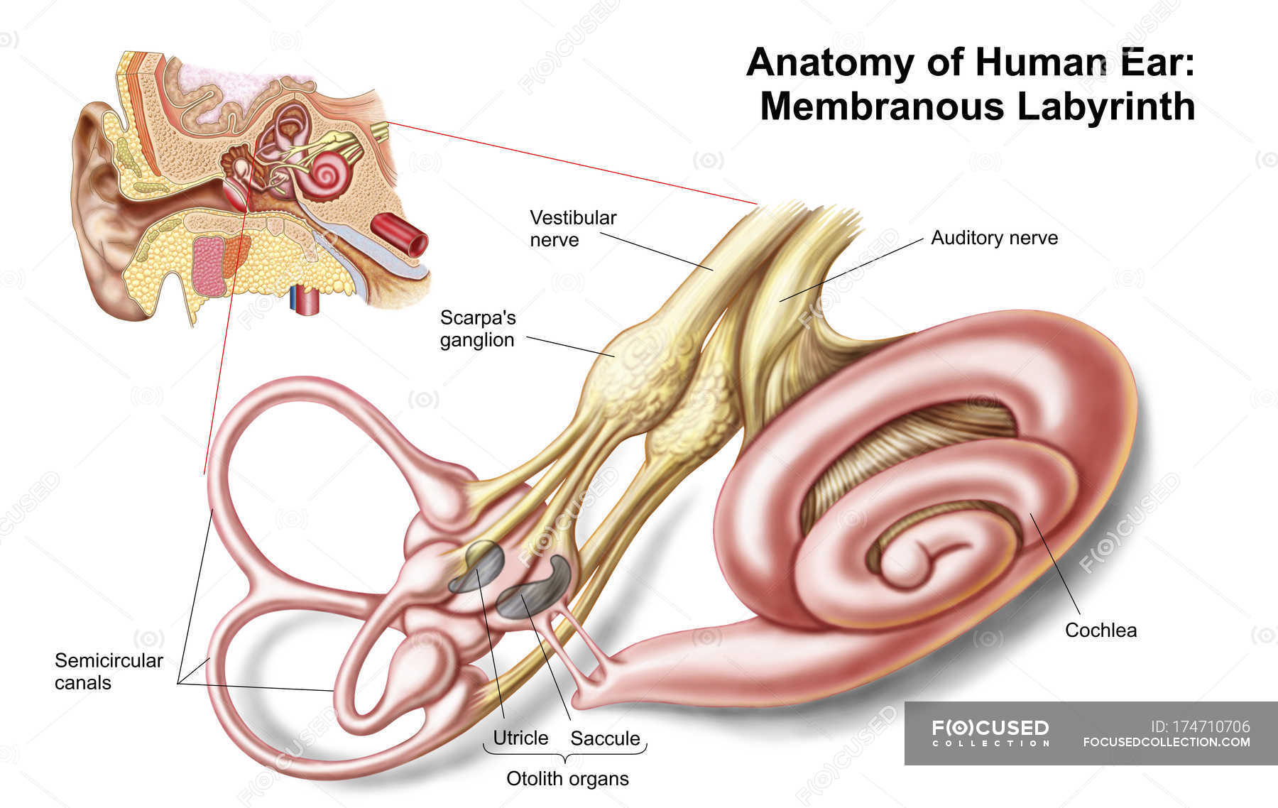 Anatomy Of Human Ear With Membranous Labyrinth Stock Photo