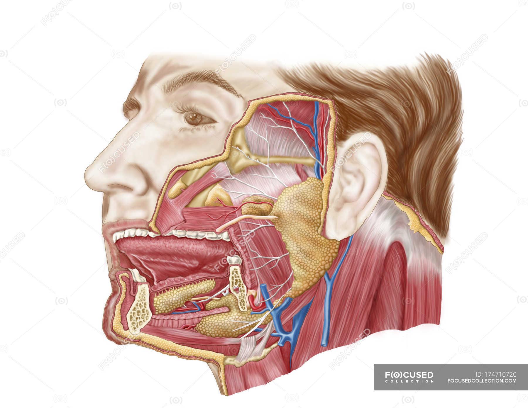 Mouth Anatomy Diagram Glands - DIY Enthusiasts Wiring Diagrams •