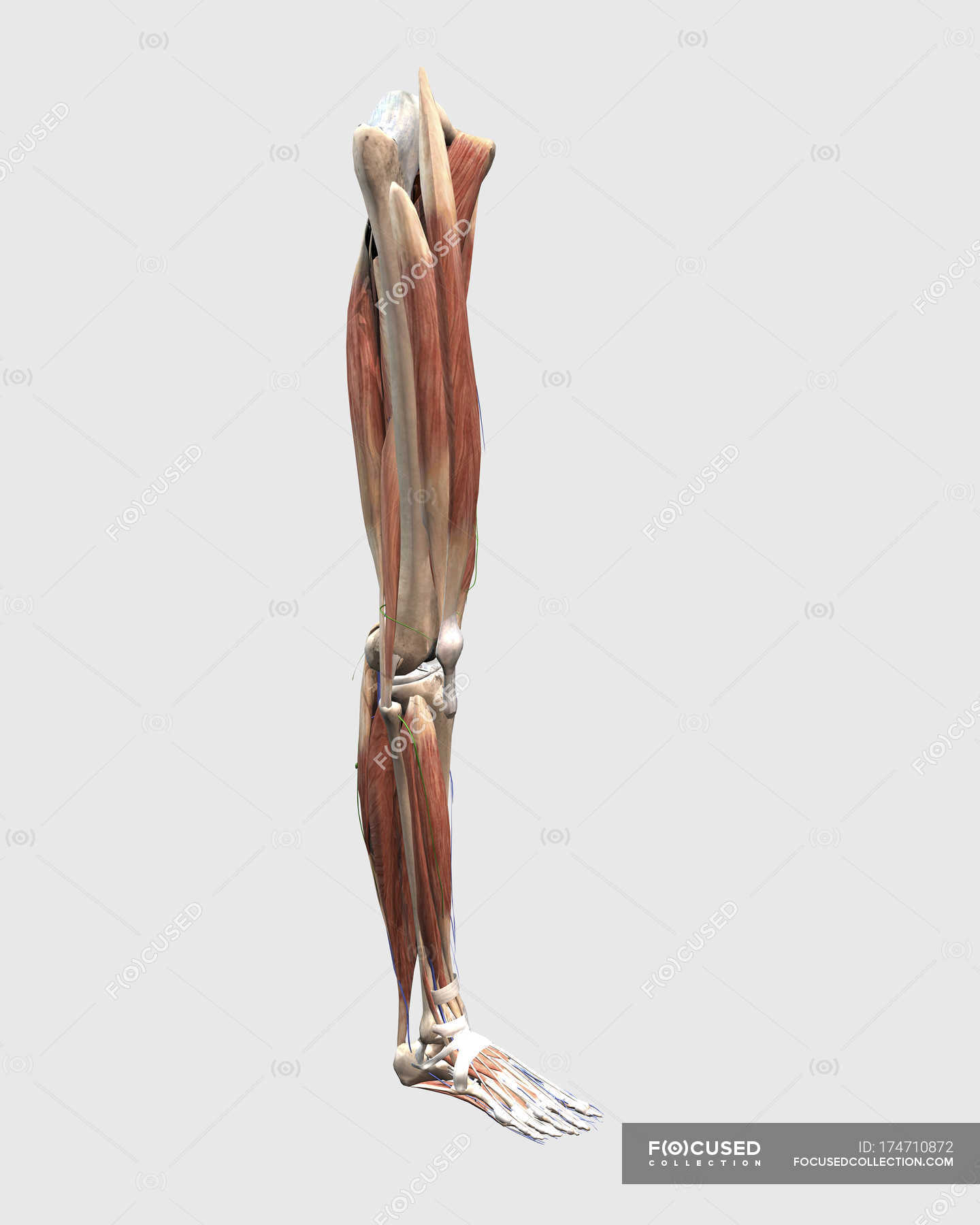 Medical Illustration Of Human Leg Muscles Bones And Joints Stock