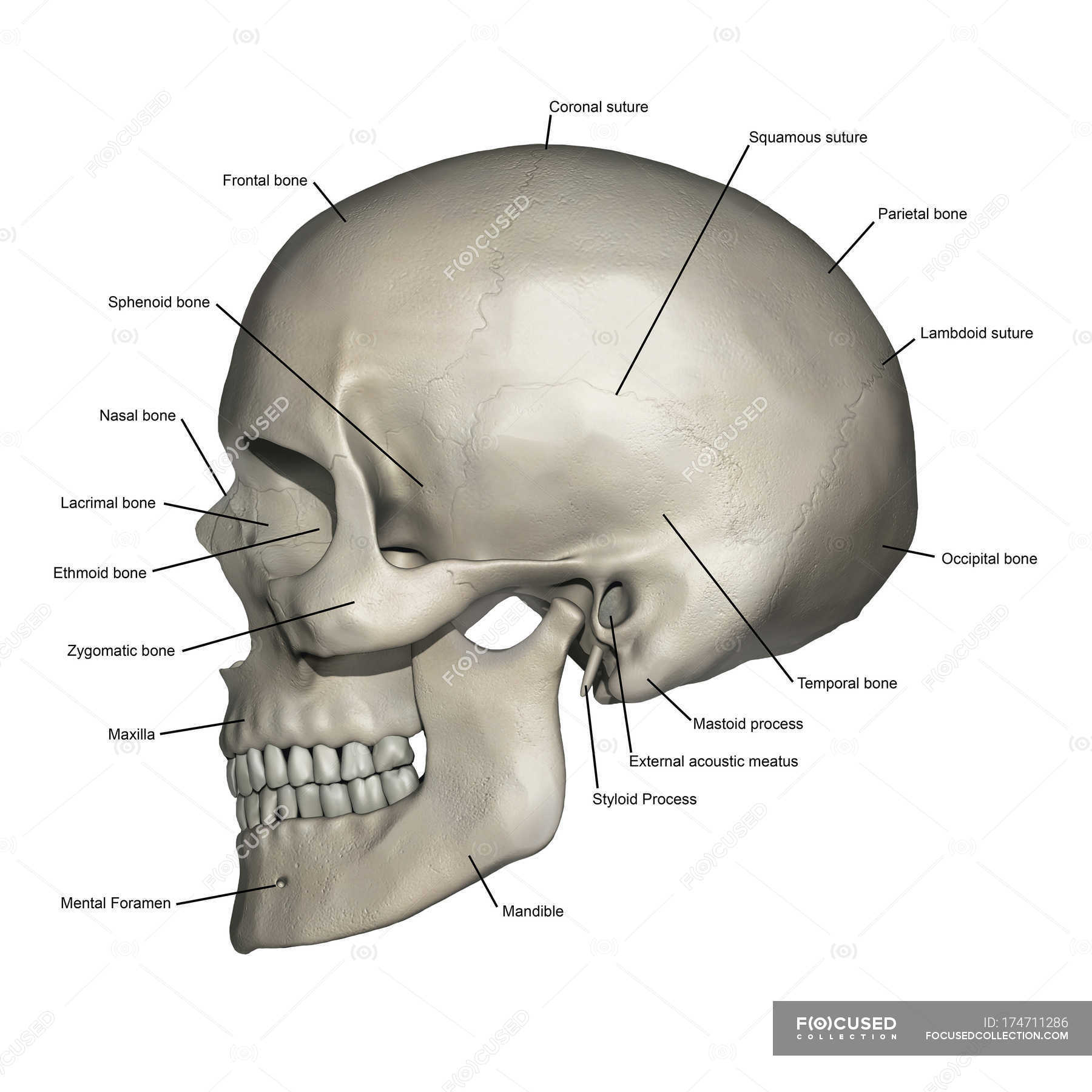 lateral view of human skull anatomy with annotations. Black Bedroom Furniture Sets. Home Design Ideas