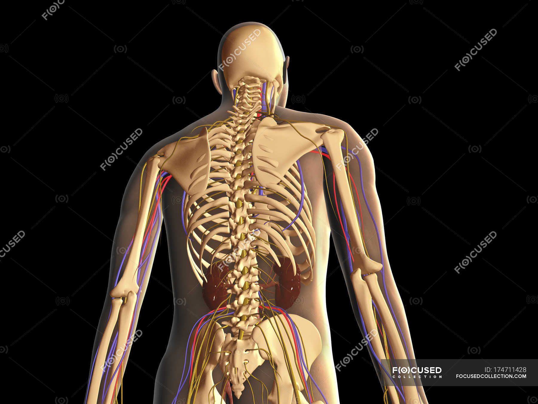 Transparent Rear View Of Human Body Showing Skeleton Kidneys And