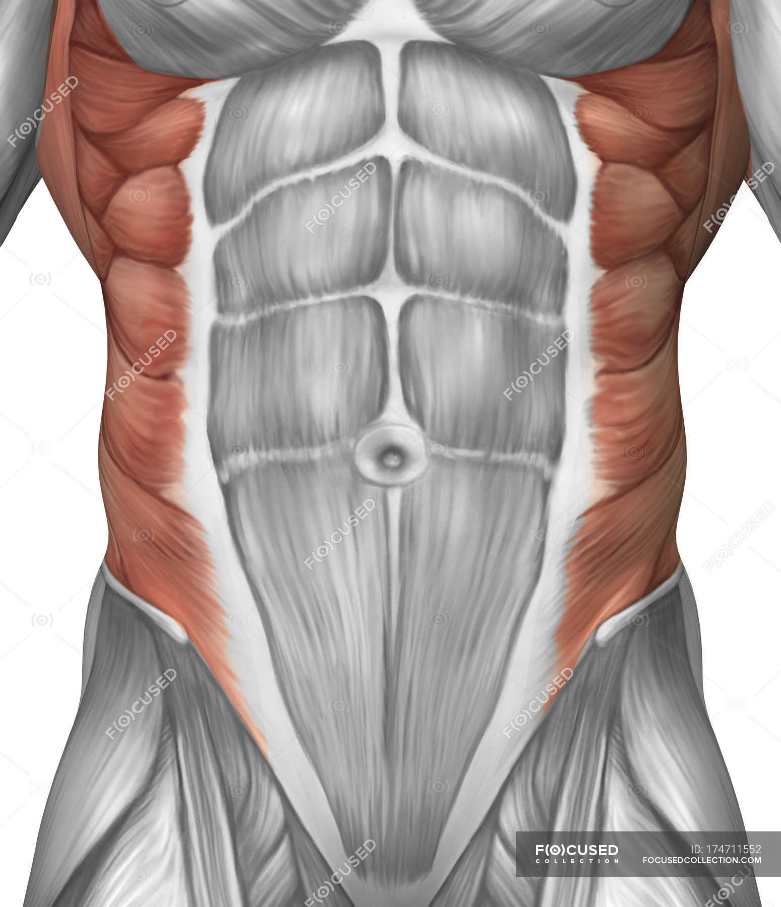 Male Muscle Anatomy Of The Abdominal Wall Stock Photo 174711552
