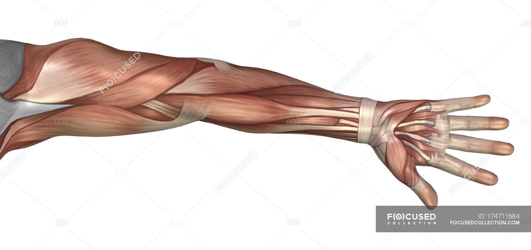 Muskel-Anatomie des menschlichen Armes — Stockfoto | #174711684