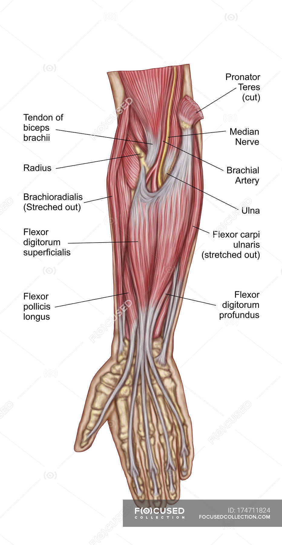 Anatomy Of Human Forearm Muscles With Labels Stock Photo 174711824