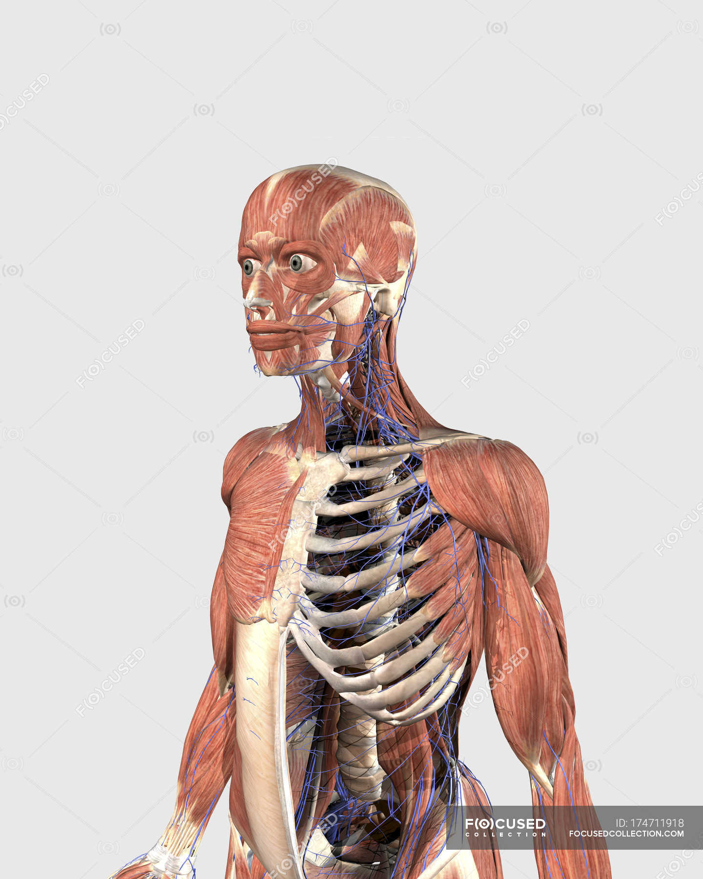 Human Upper Body With Muscle Parts Axial Skeleton And Veins White