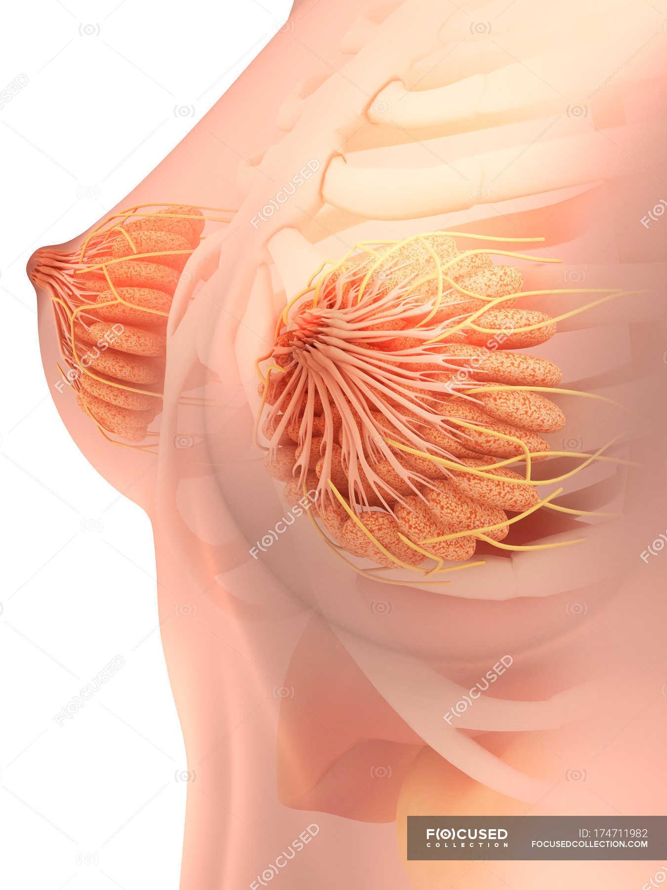 Medical illustration of female breast anatomy — Stock Photo | #174711982