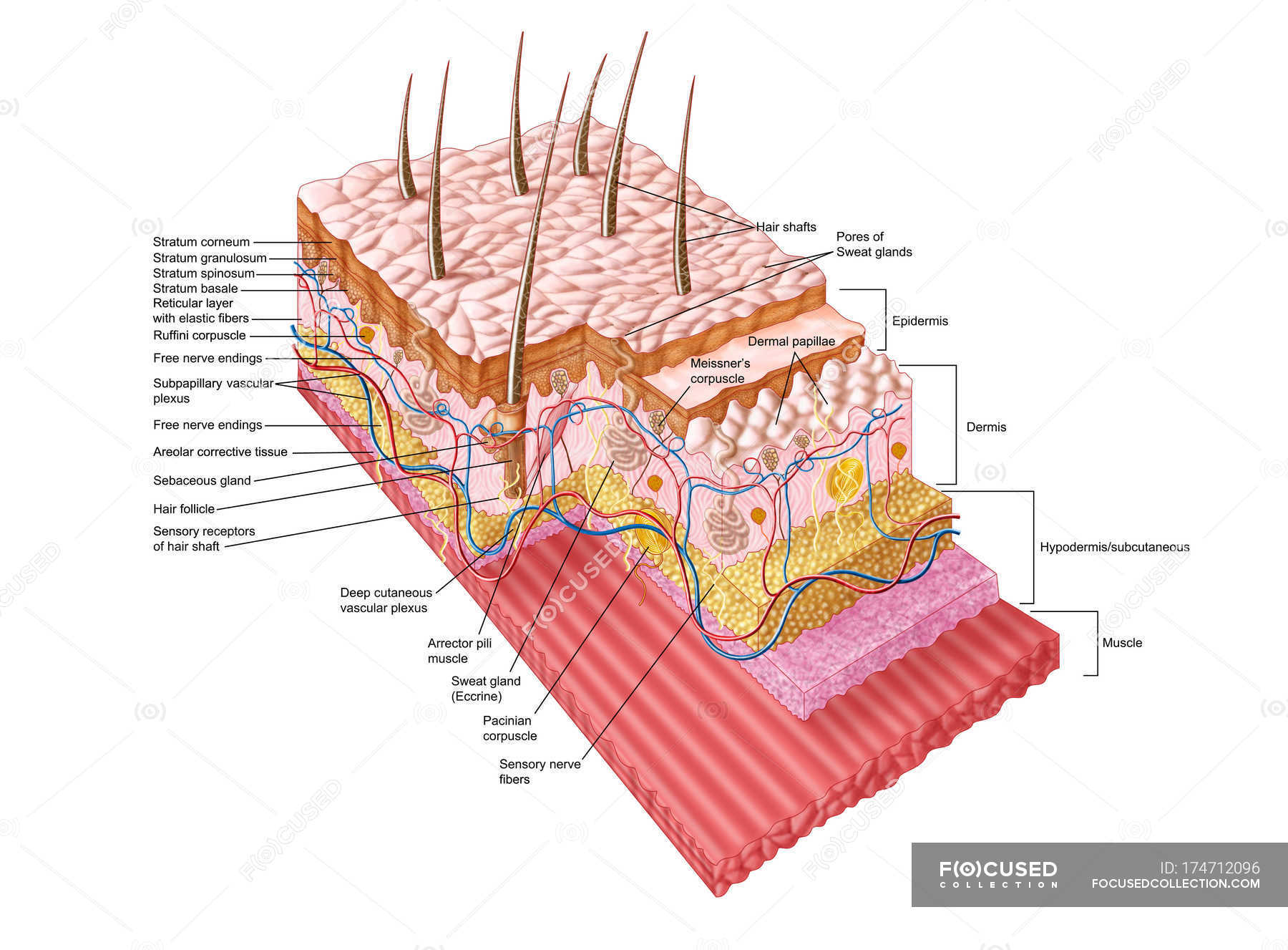 Medical Illustration Of The Human Skin Anatomy Cross Section
