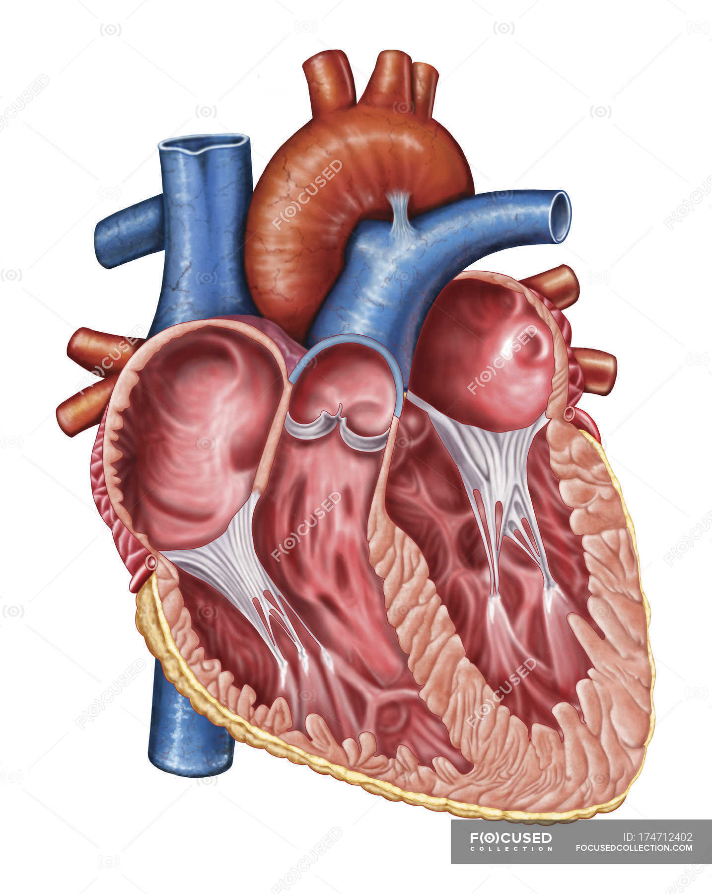 Medical Illustration Of Human Heart Interior Stock Photo 174712402