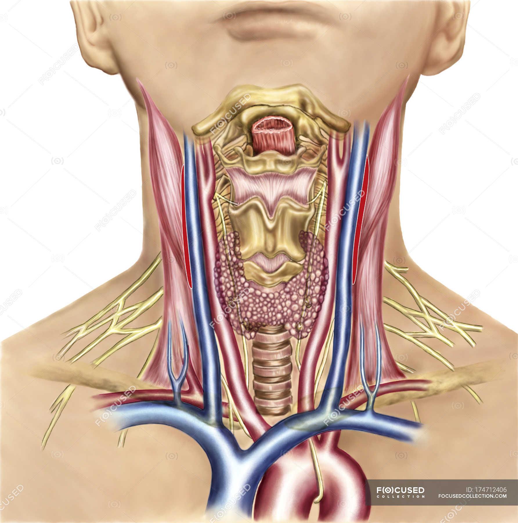Neck anatomy showing arteries of pharyngeal region and thyroid ...