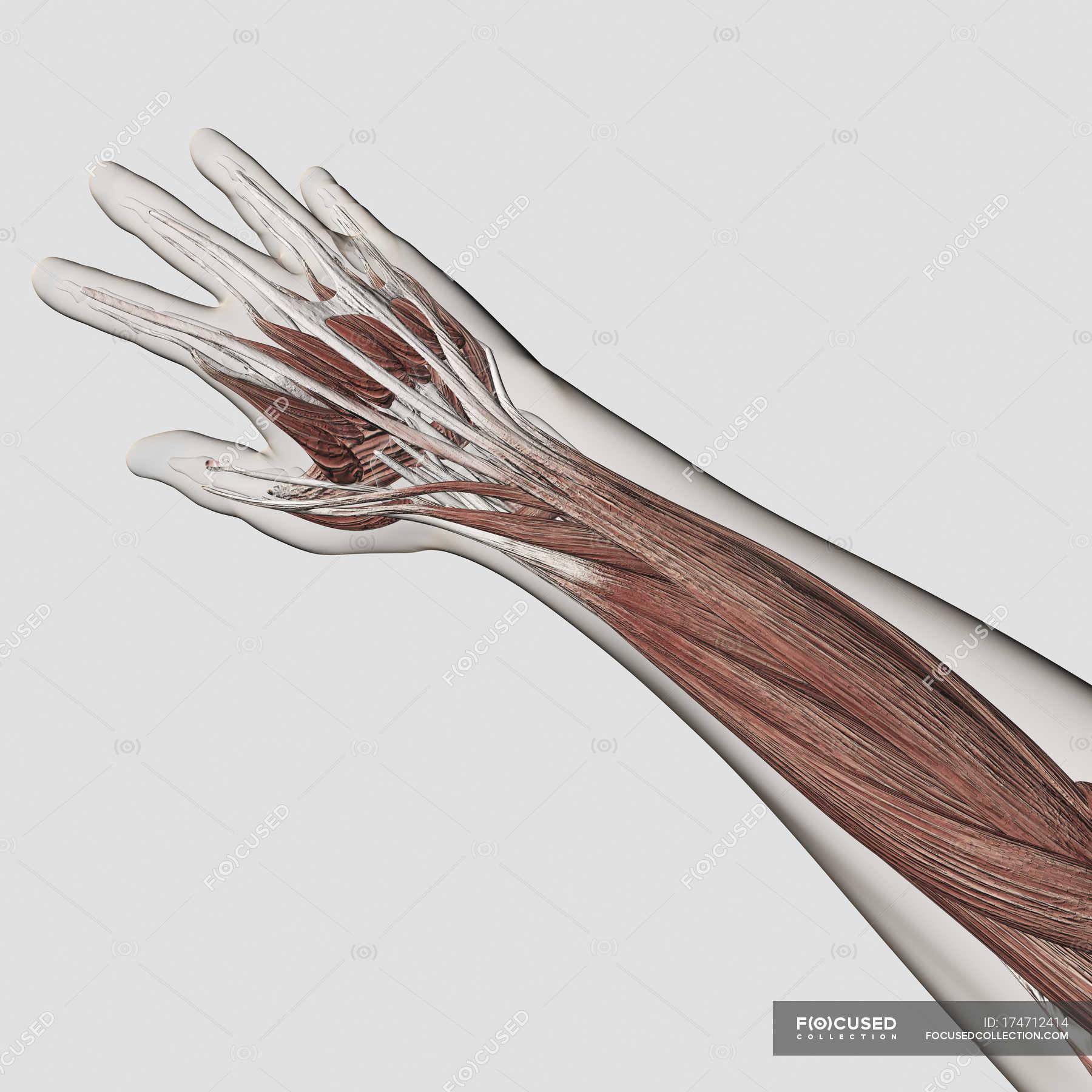 Muskel-Anatomie des menschlichen Arm und Hand weißen Hintergrund ...