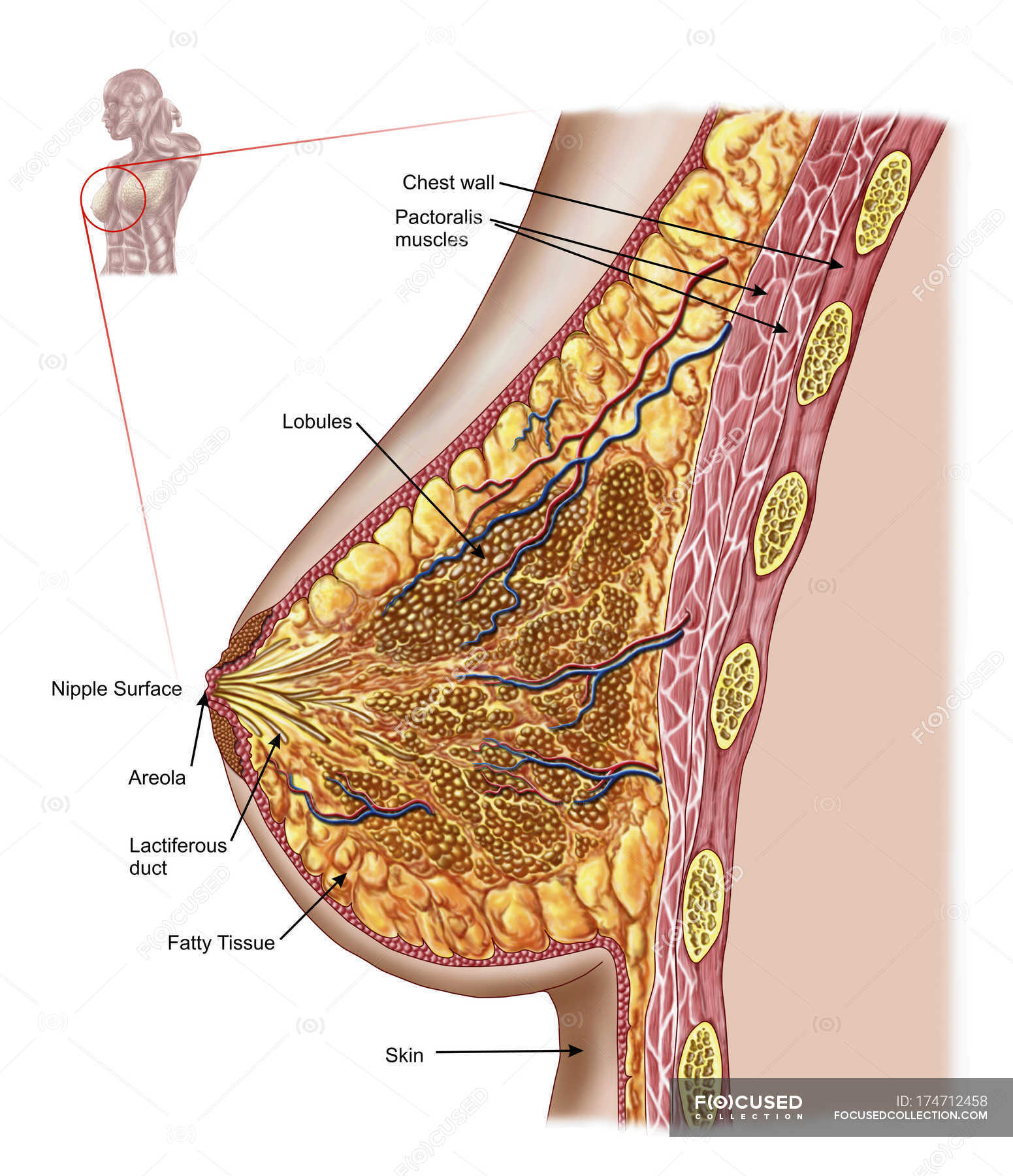 Anatomy of the female breast with labels — Stock Photo | #174712458