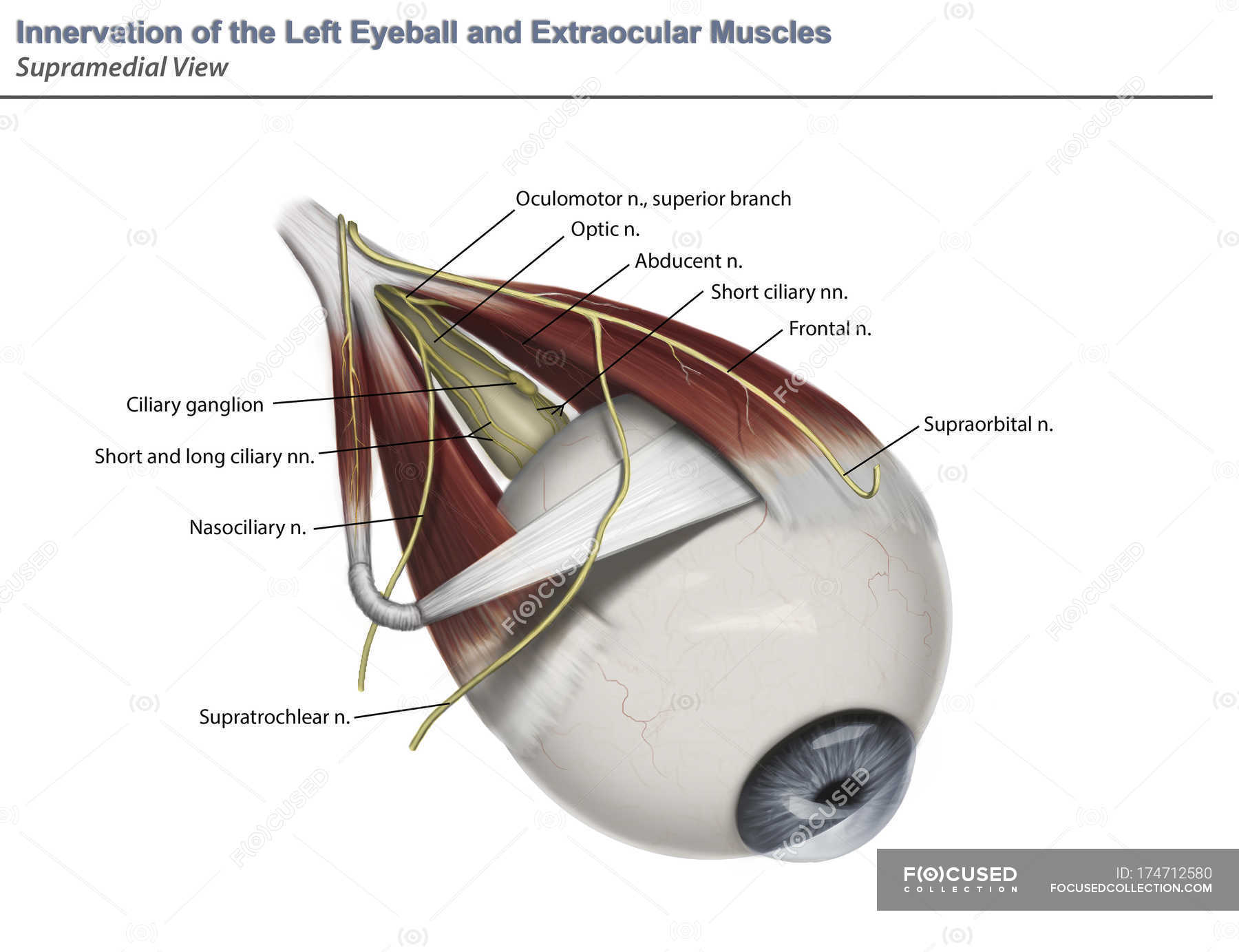 Supramedial Auge Anatomie des Muskels Innervation mit Anmerkungen ...