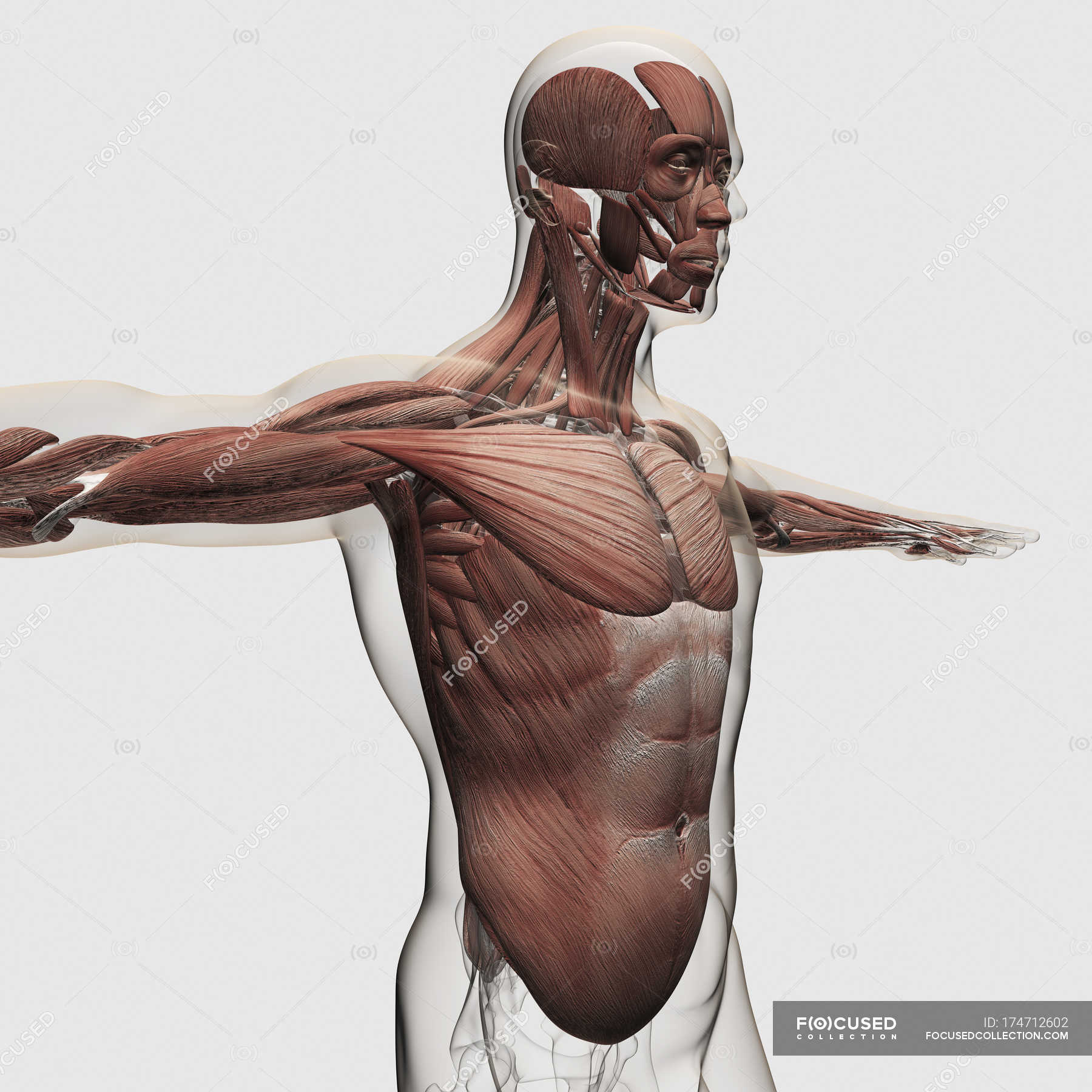 Anatomy of male muscles in upper body — Stock Photo | #174712602