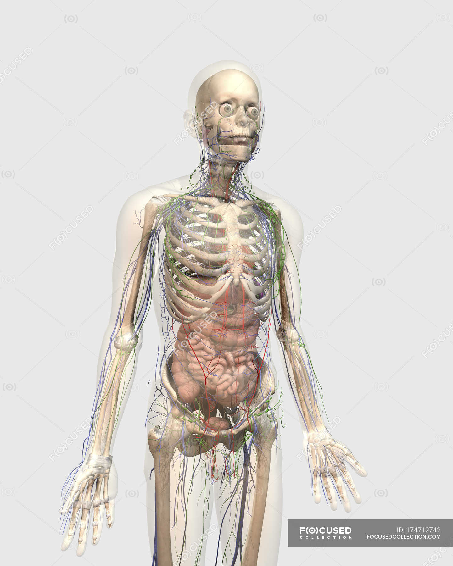 Transparent Human Body With Internal Organs Lymphatic And
