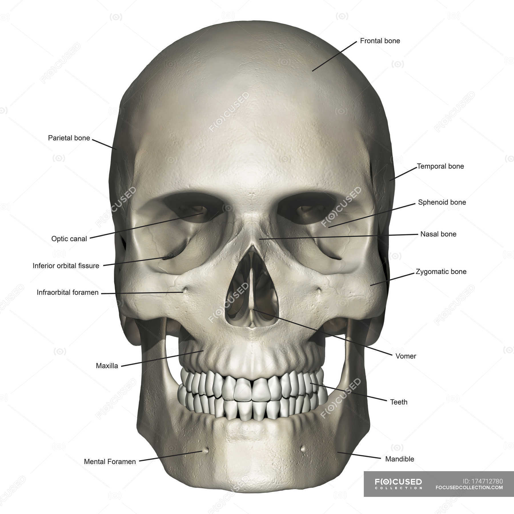 Anterior view of human skull anatomy with annotations — Stock Photo ...