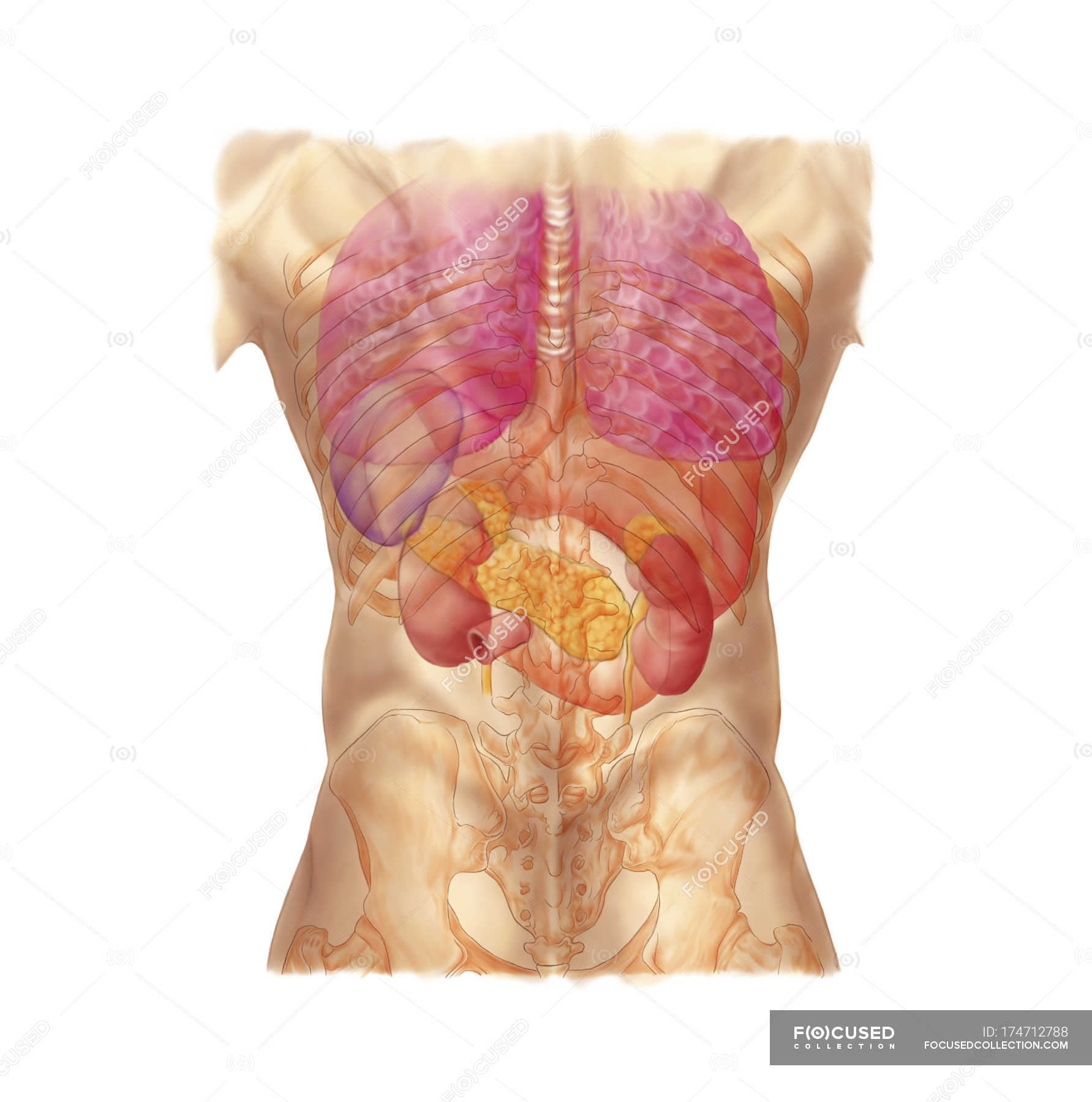 Abdominal quadrants with internal organs and rib cage stock photo abdominal quadrants with internal organs and rib cage stock photo 174712788 ccuart Choice Image