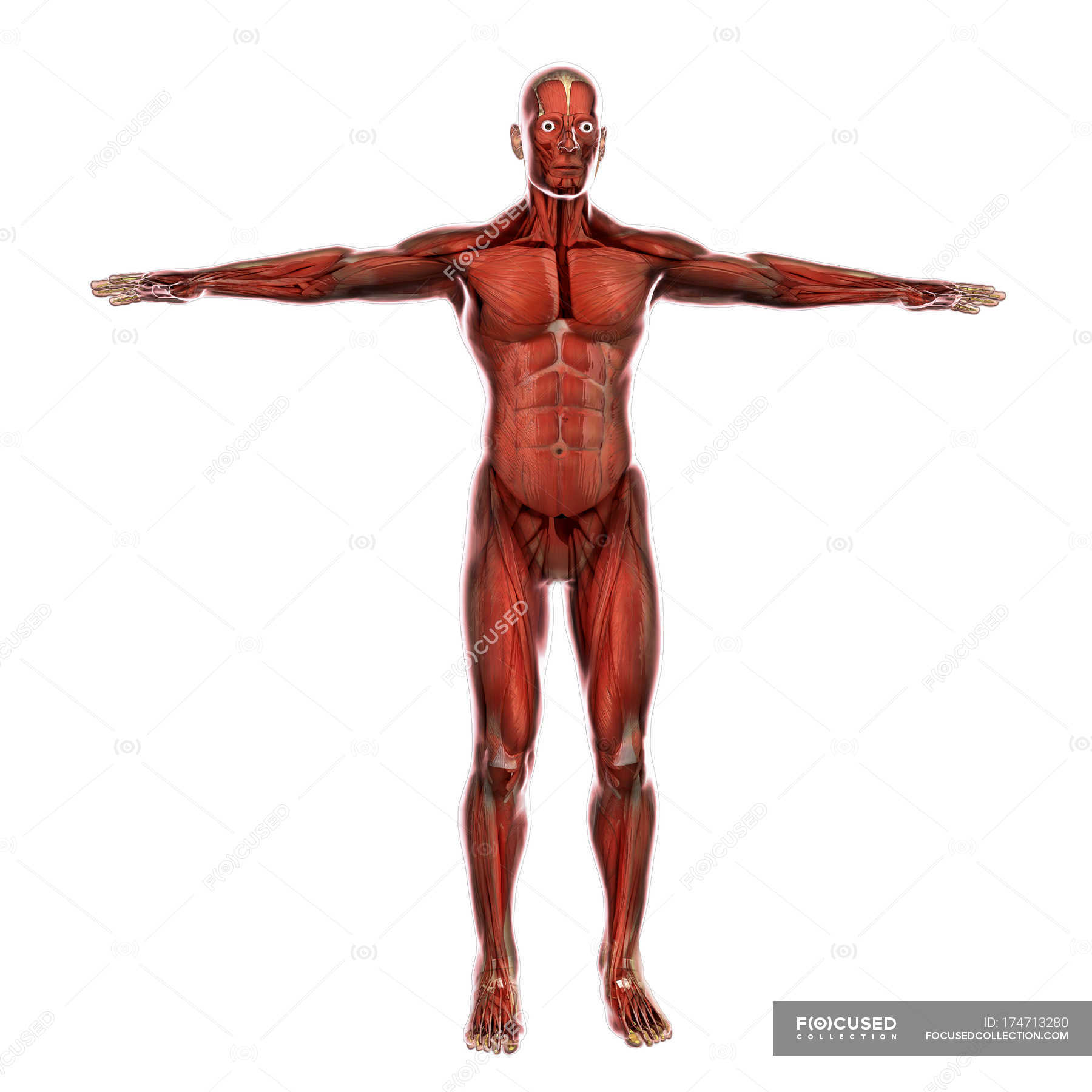 Medical Illustration Of Human Muscular System Stock Photo 174713280