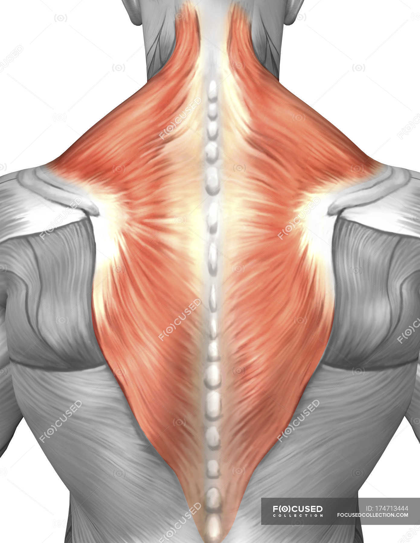 Muscles of the back and neck — Stock Photo | #174713444