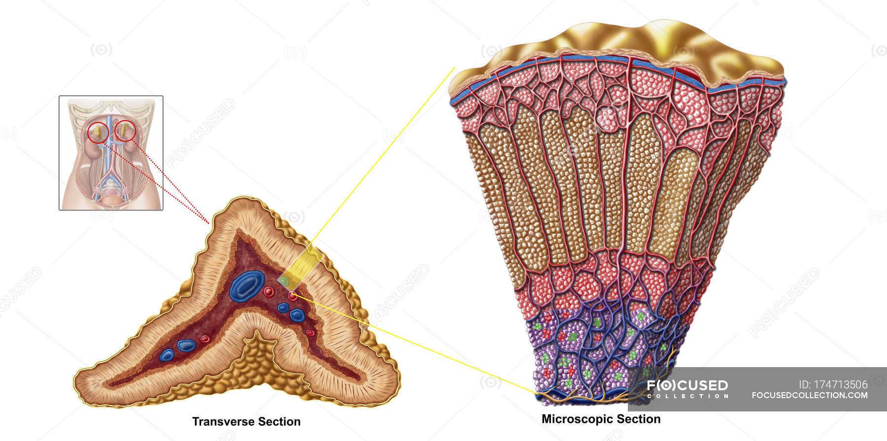 Medical Illustration Of Adrenal Gland Anatomy On White Background