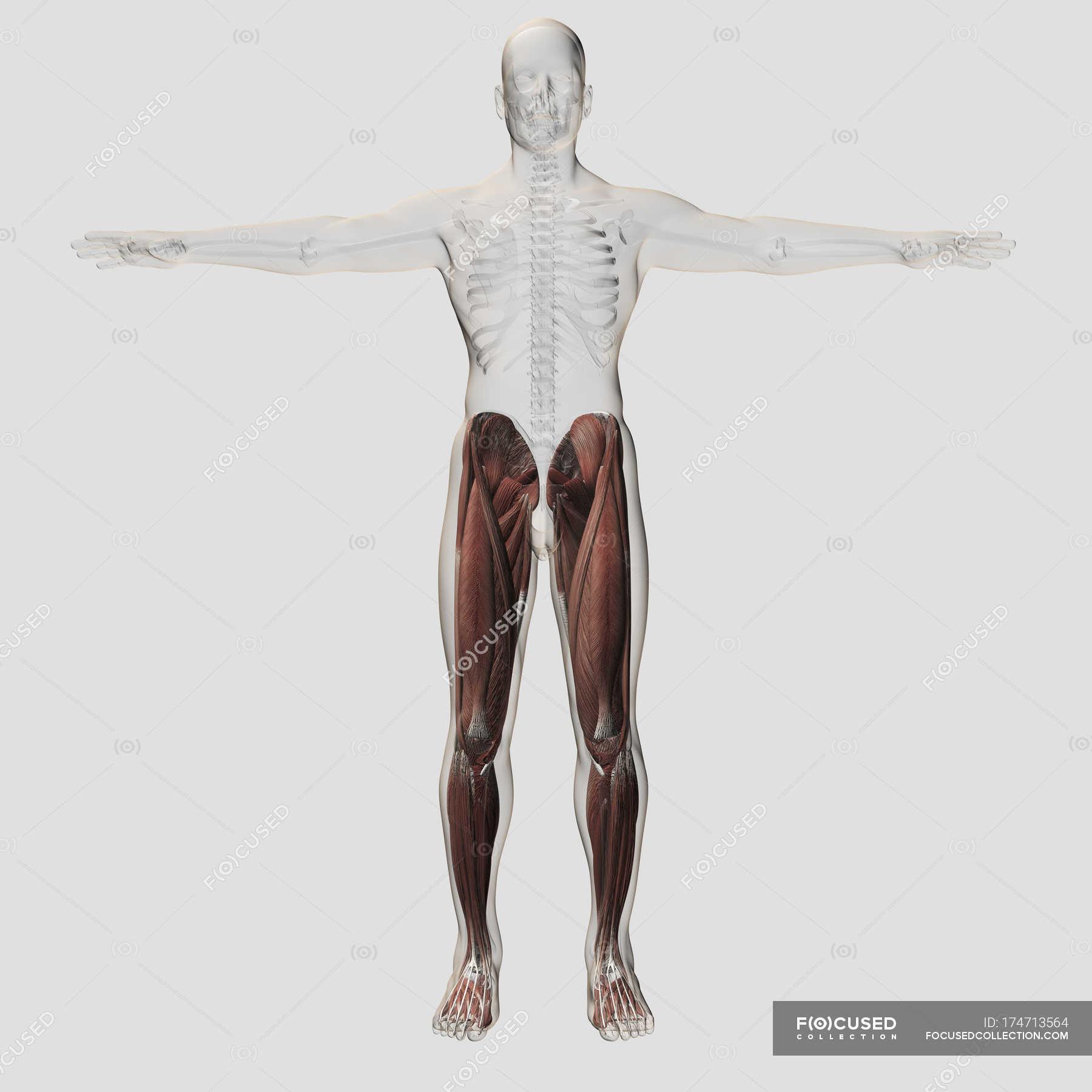 Männliche Muskeln Anatomie der menschlichen Beine — Stockfoto ...