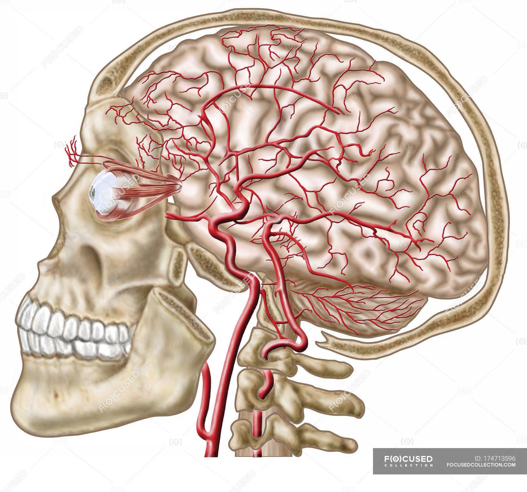 Anatomy of human skull, eyeball and arteries to brain — Stock Photo ...