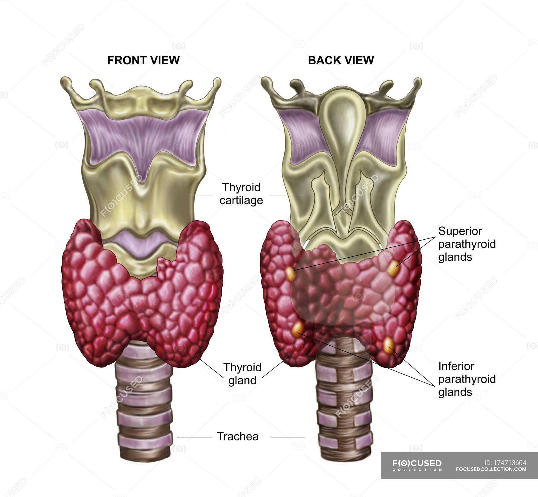 Anatomy of thyroid gland with larynx and cartilage with labels ...