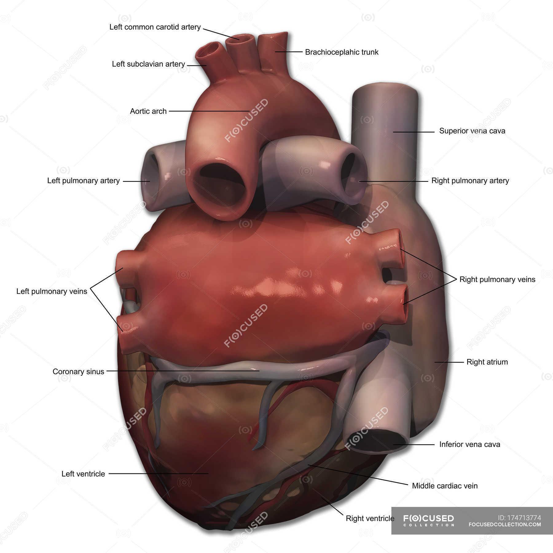 Anatomie der menschlichen Herzens mit Anmerkungen — Stockfoto ...