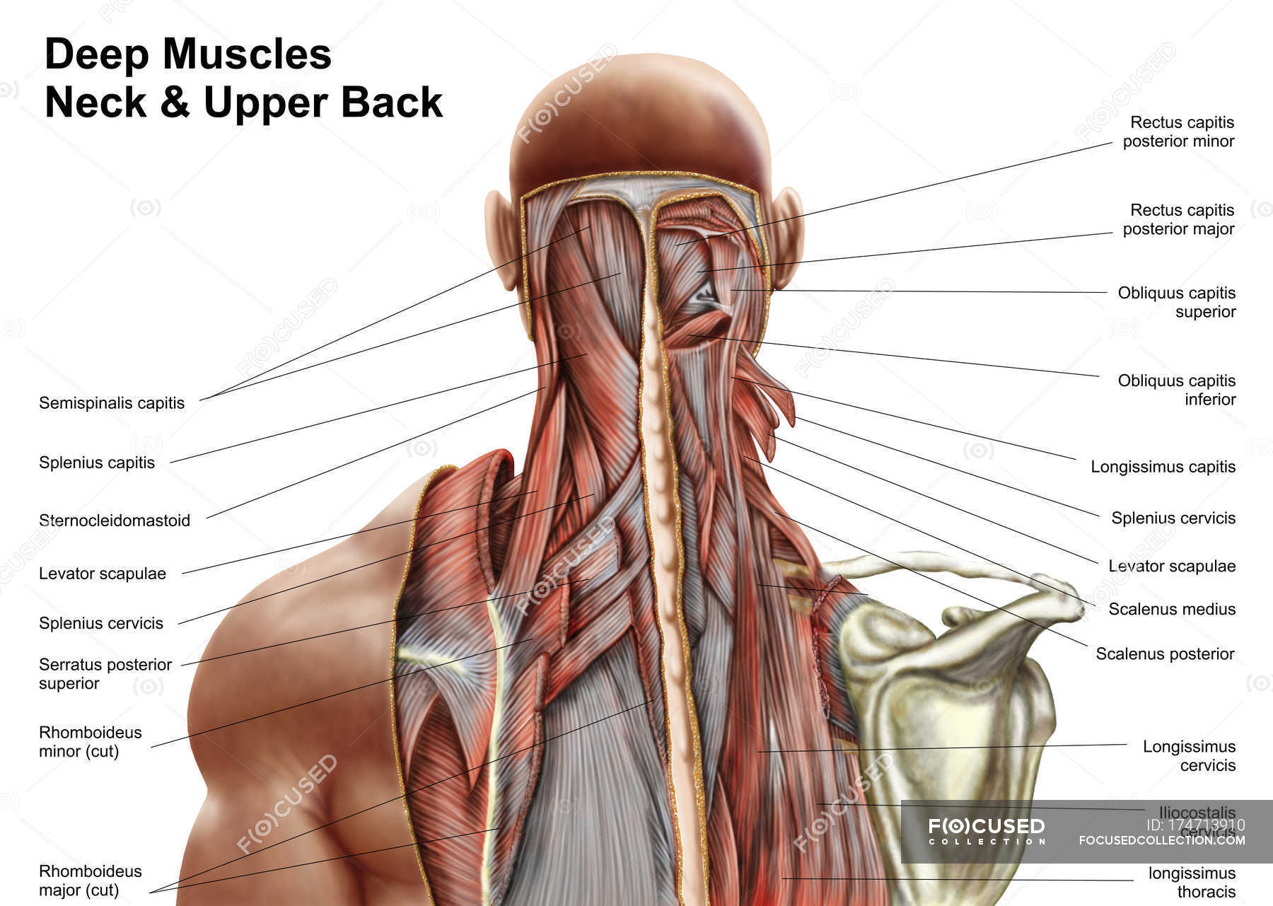 Human Anatomy Of Deep Muscles In The Neck And Upper Back White